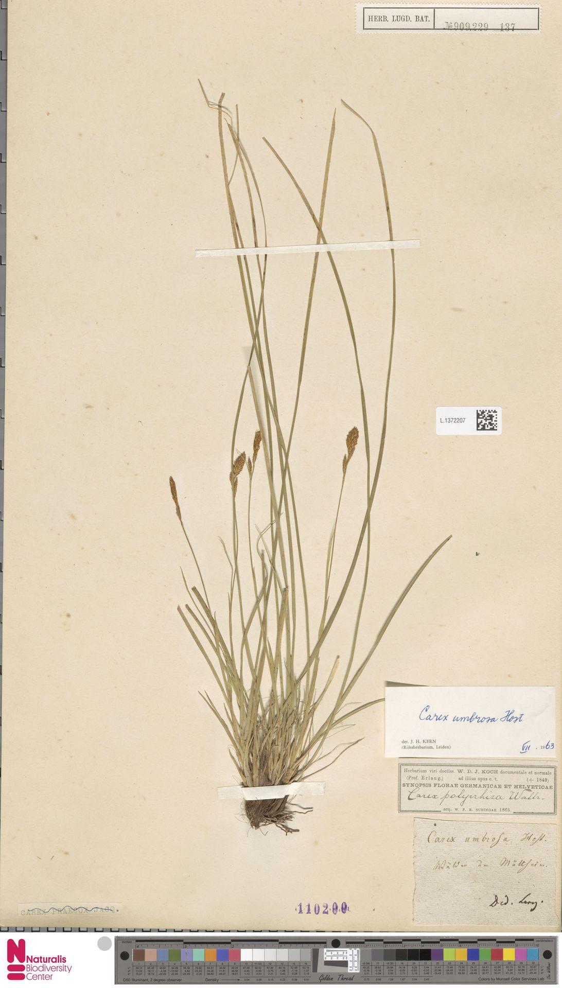 L.1372207 | Carex umbrosa Host