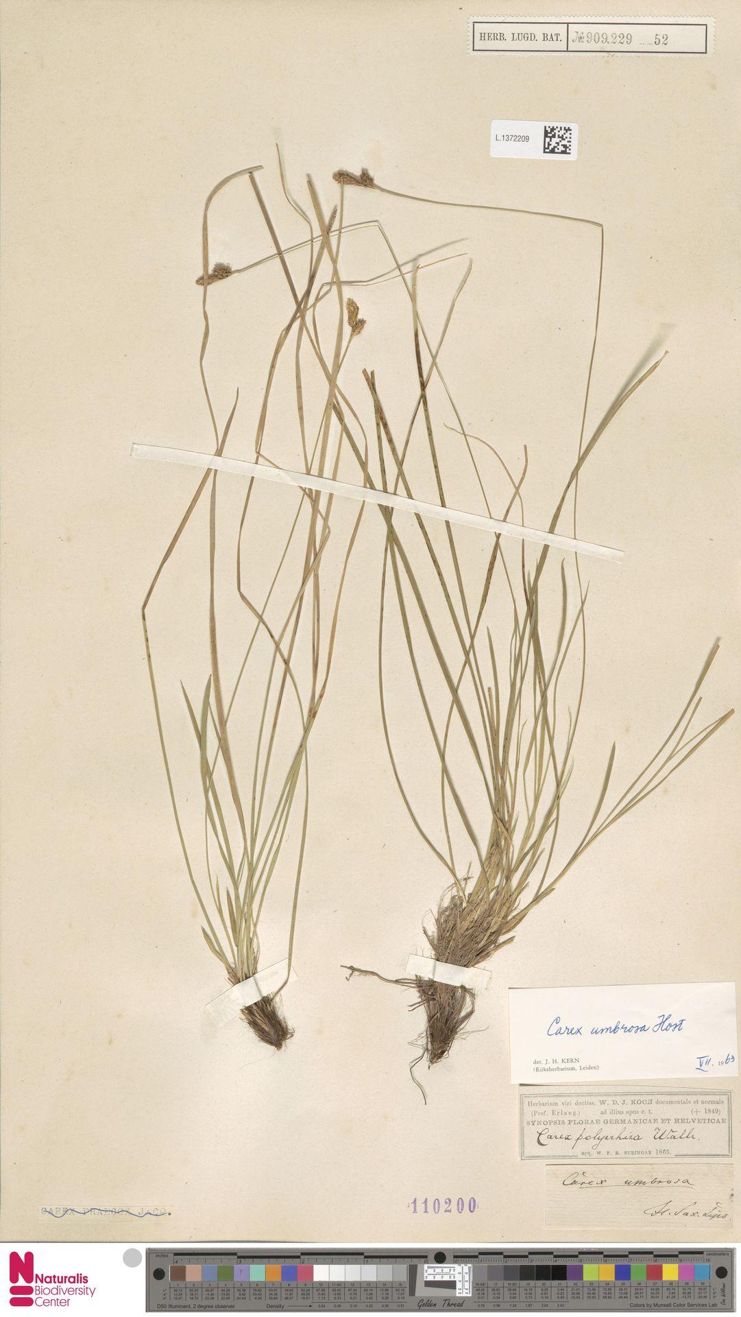 L.1372209 | Carex umbrosa Host