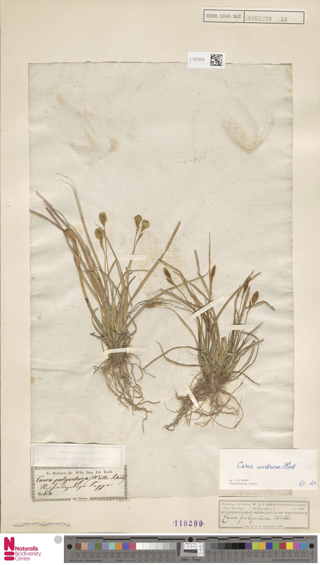 L.1372210 | Carex umbrosa Host