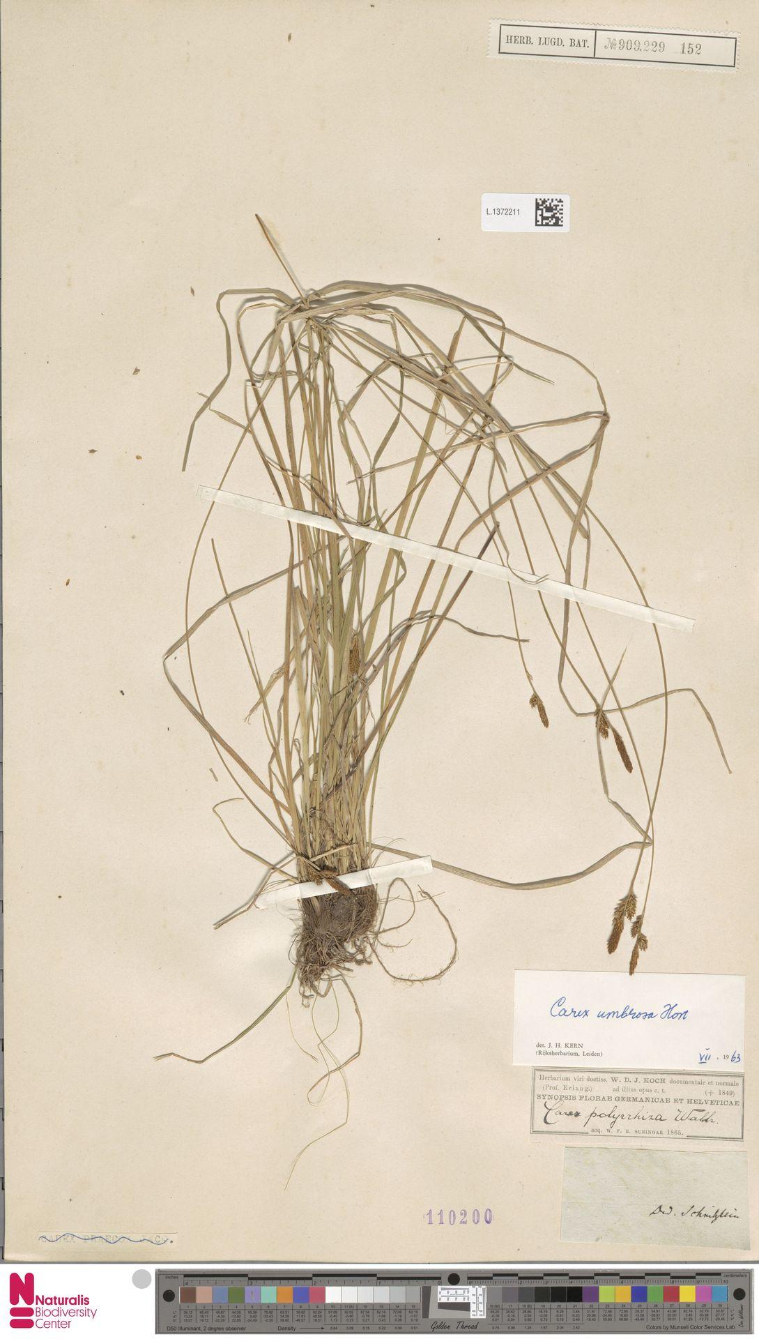 L.1372211 | Carex umbrosa Host