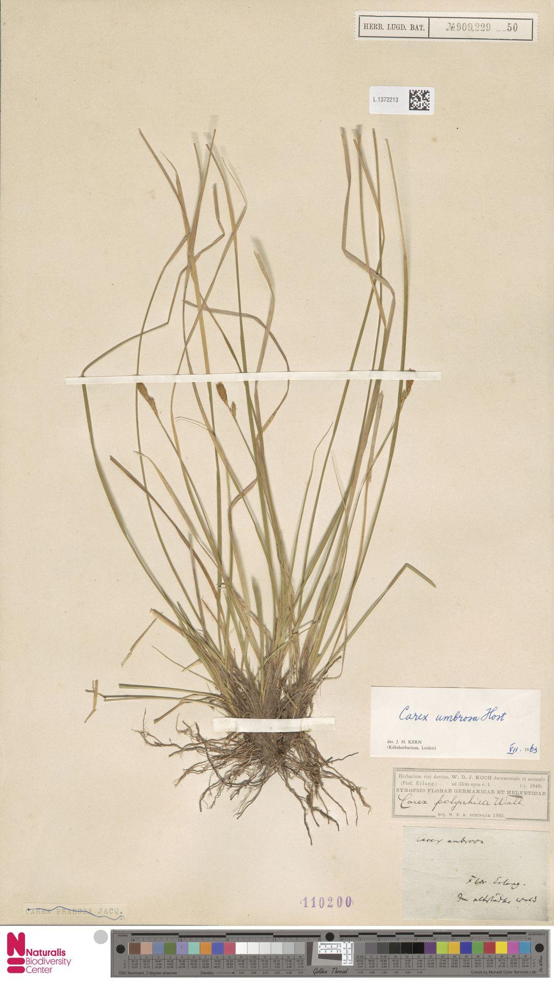 L.1372213 | Carex umbrosa Host