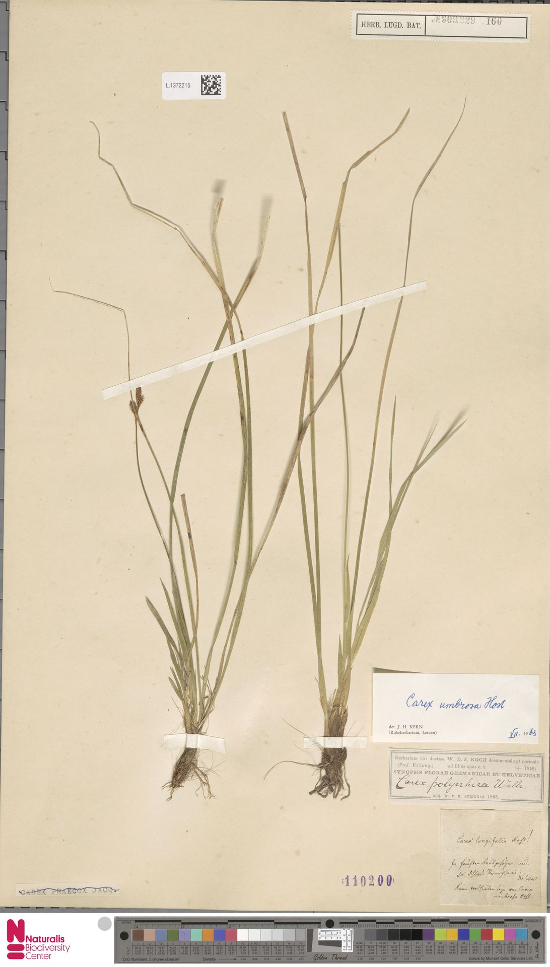 L.1372215 | Carex umbrosa Host