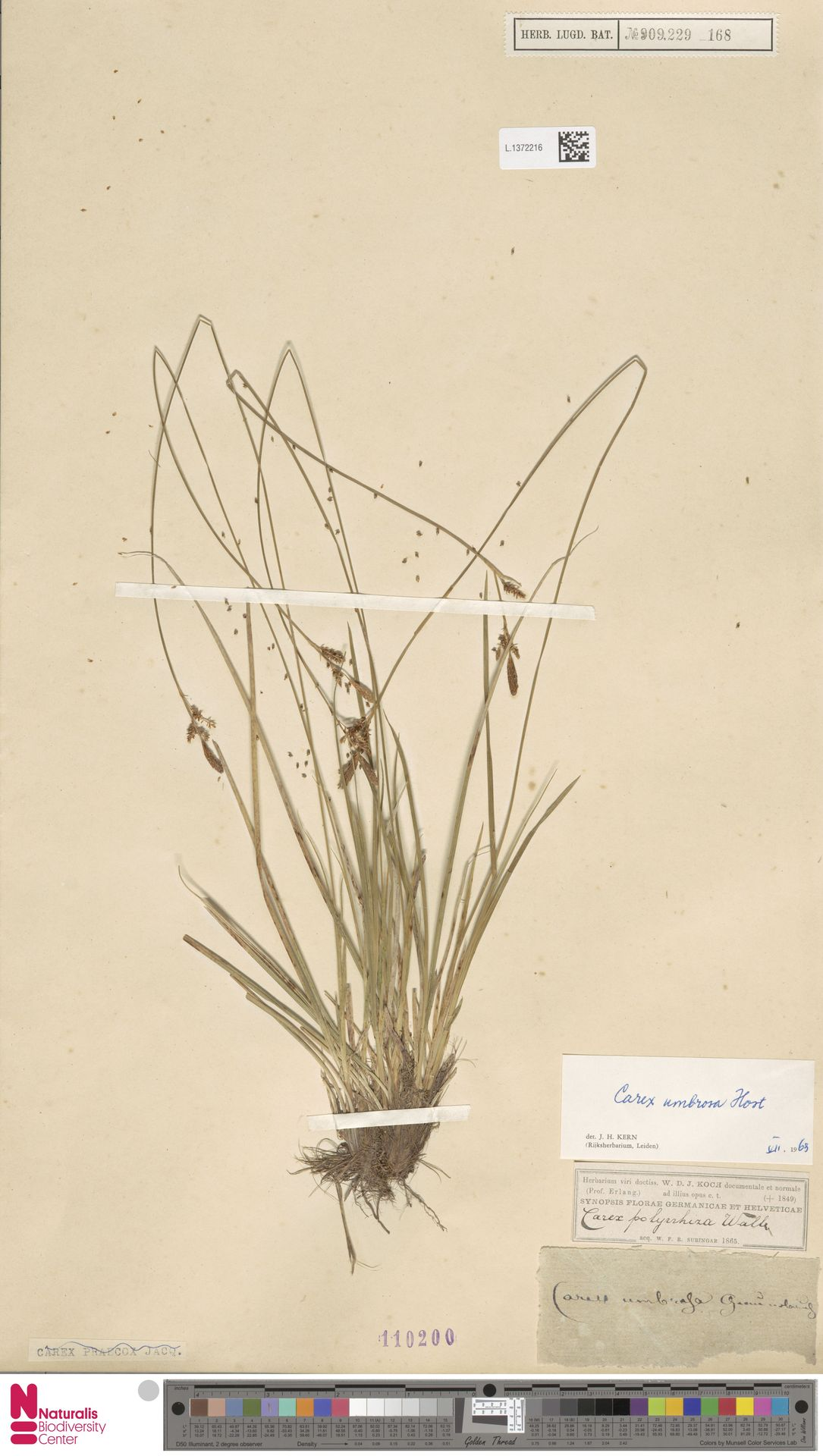 L.1372216 | Carex umbrosa Host