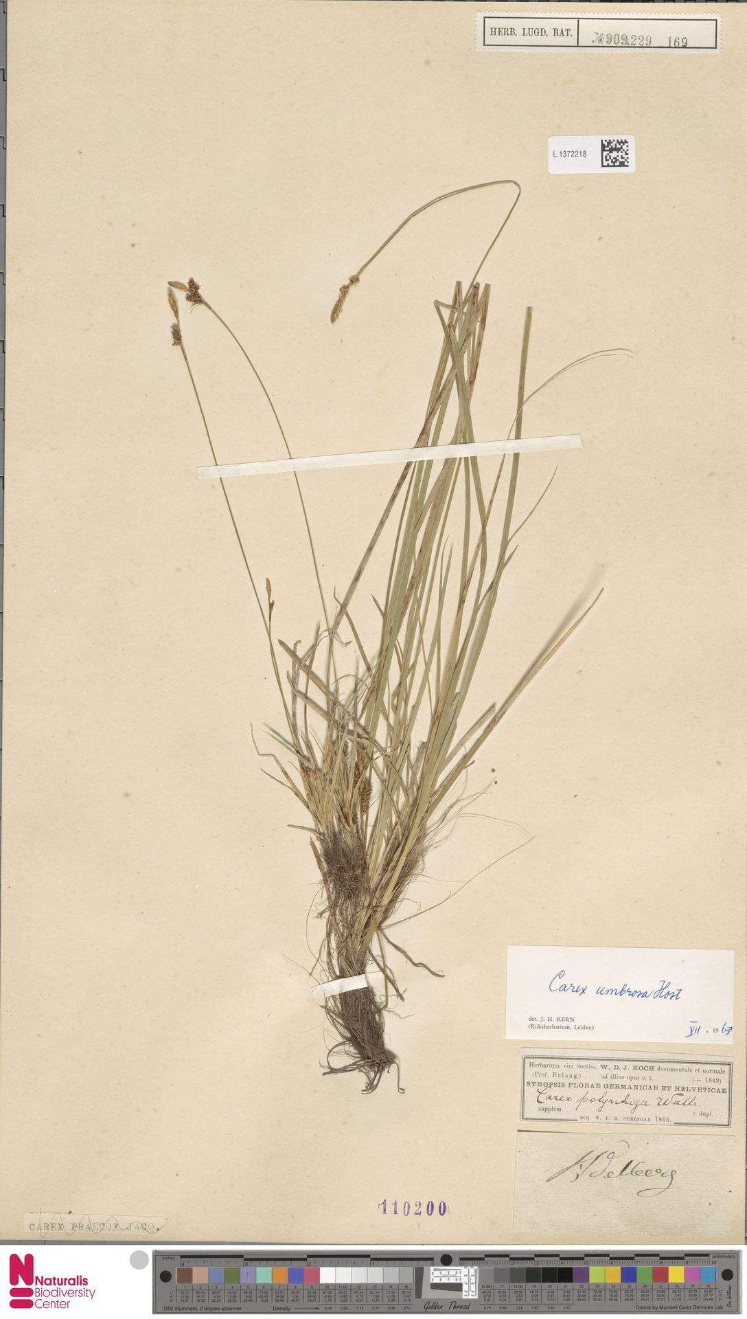 L.1372218 | Carex umbrosa Host