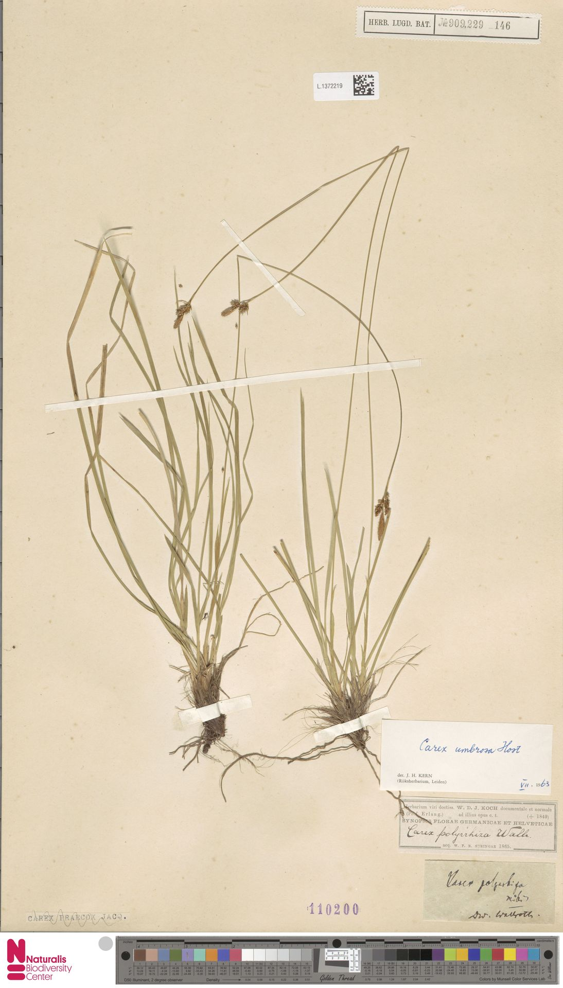 L.1372219 | Carex umbrosa Host