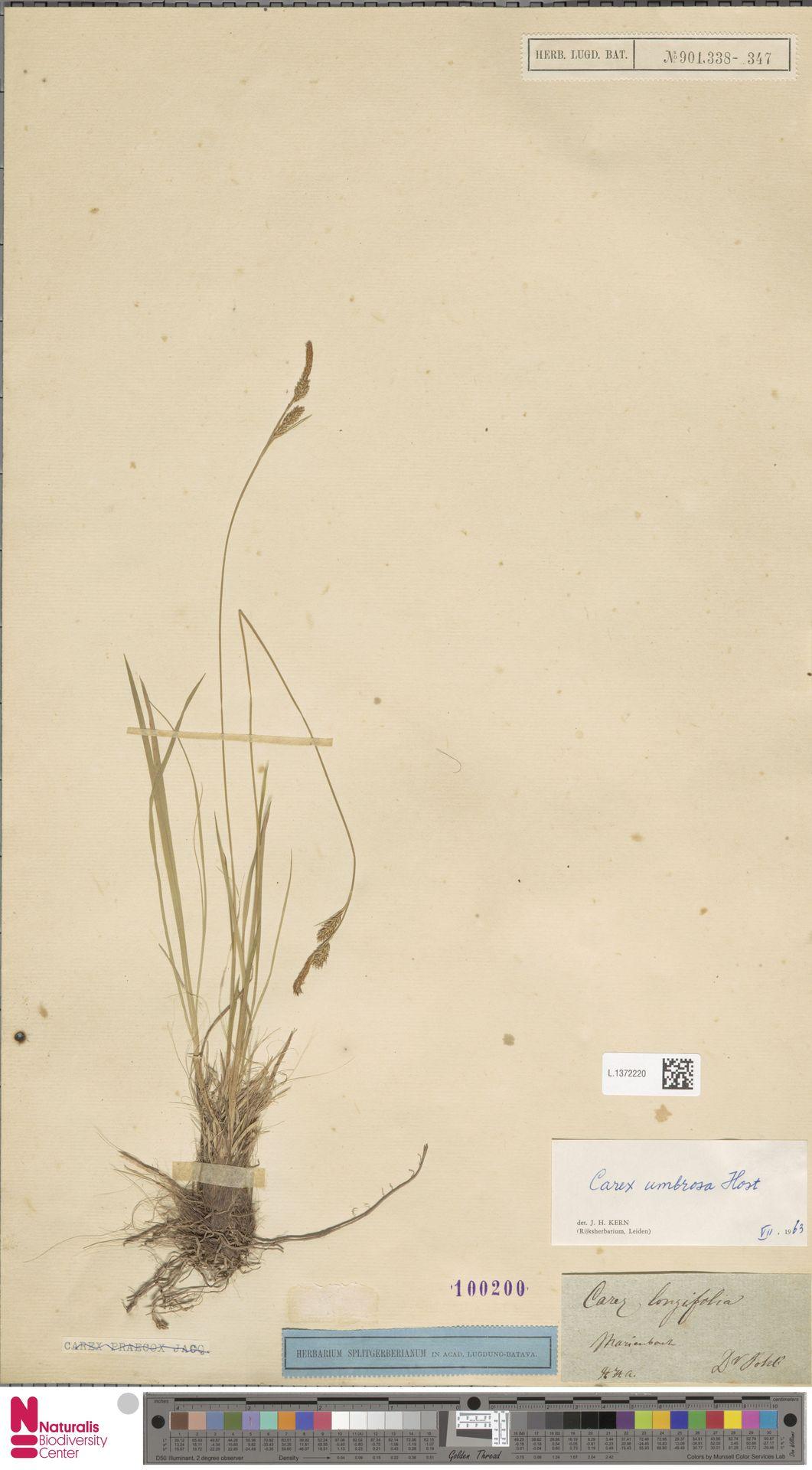 L.1372220 | Carex umbrosa Host