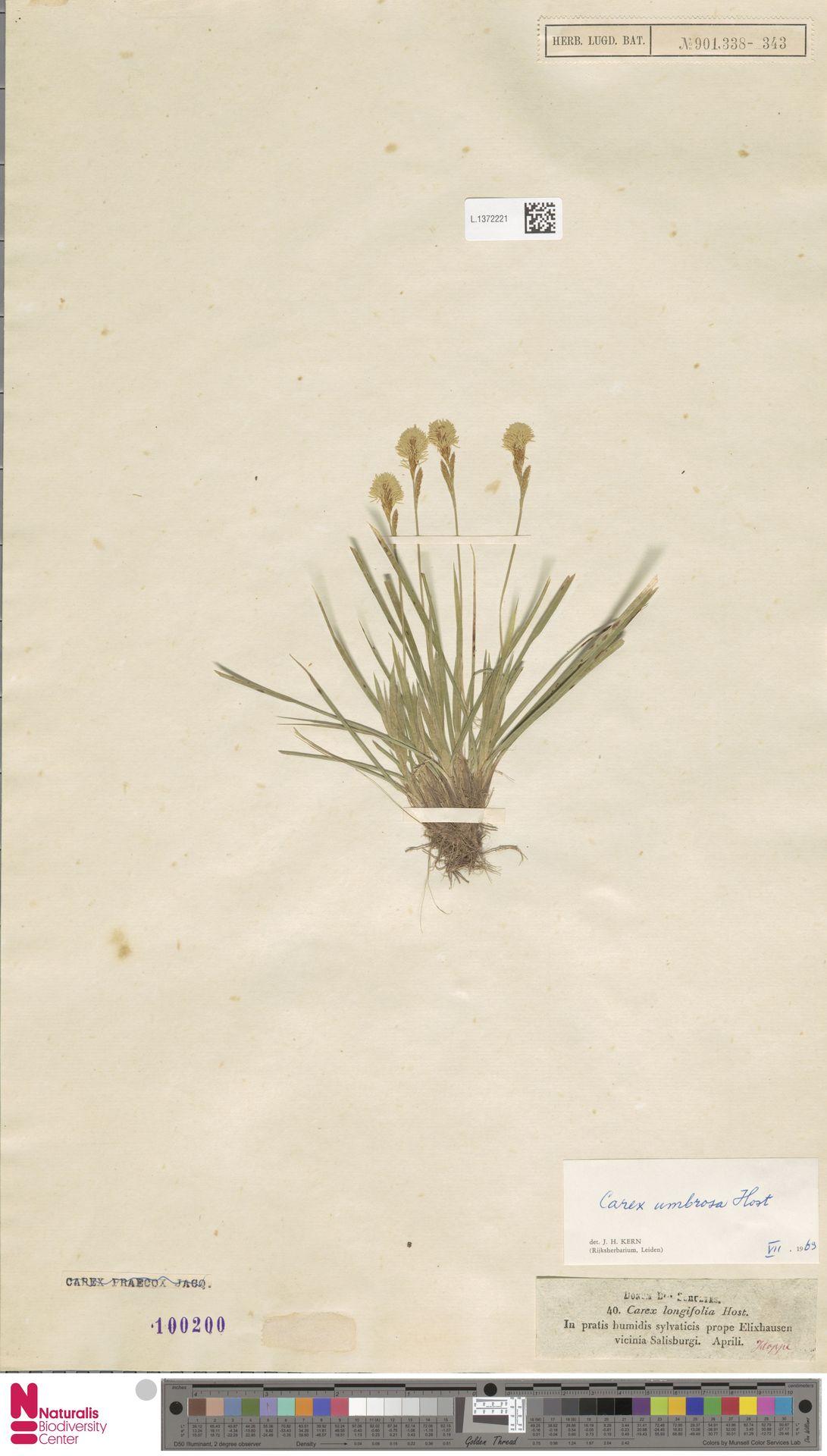 L.1372221 | Carex umbrosa Host