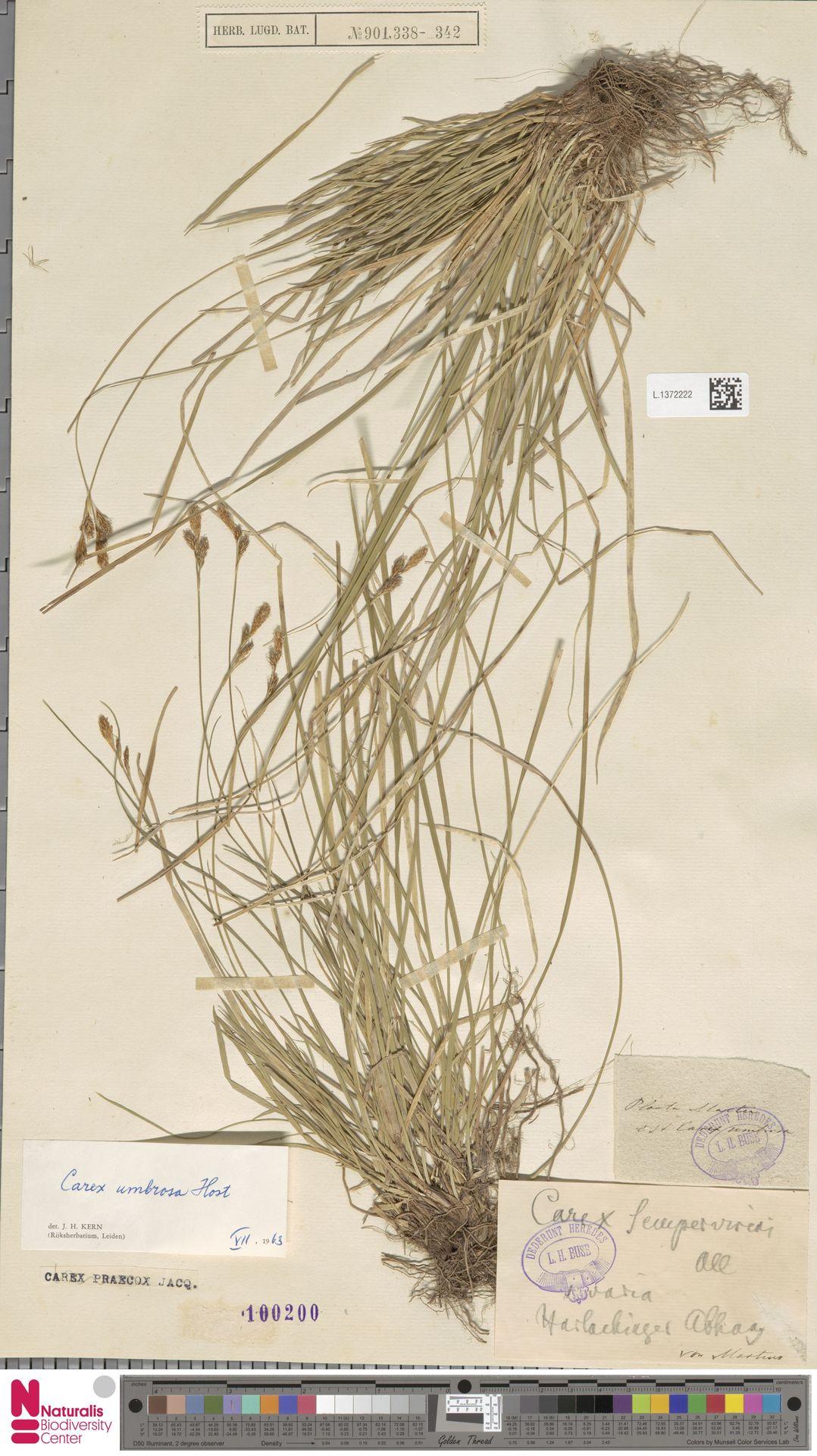 L.1372222 | Carex umbrosa Host