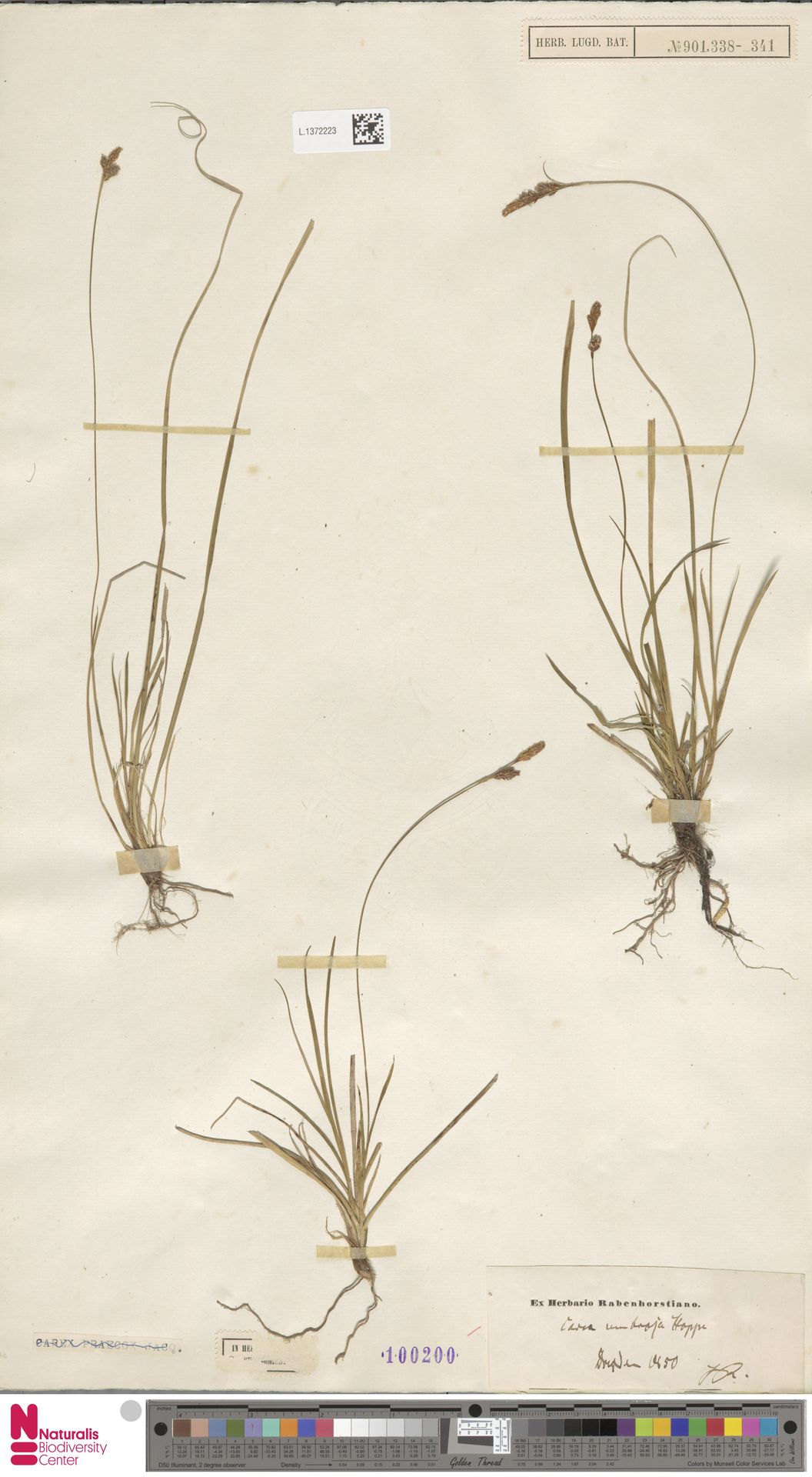 L.1372223 | Carex umbrosa Host
