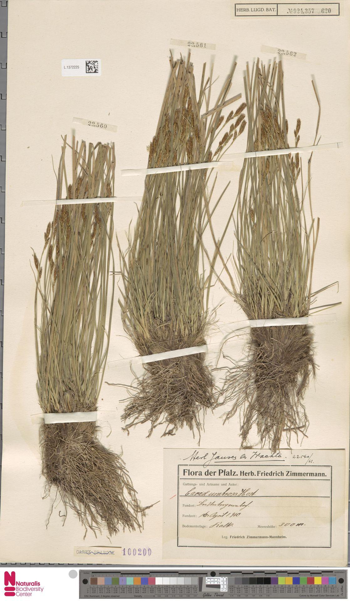 L.1372225 | Carex umbrosa Host
