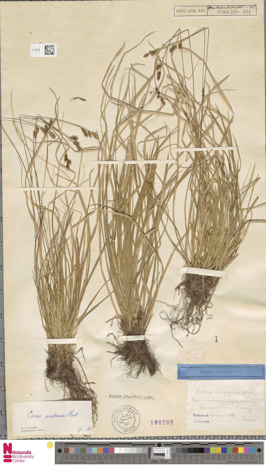 L.1372226 | Carex umbrosa Host