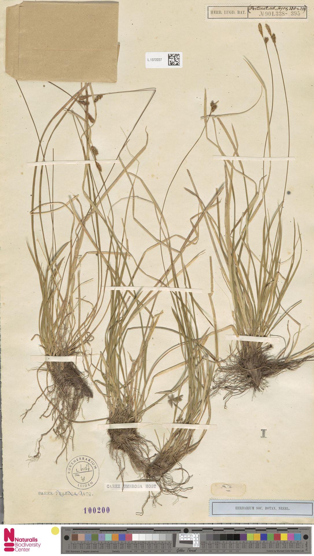 L.1372227 | Carex umbrosa Host
