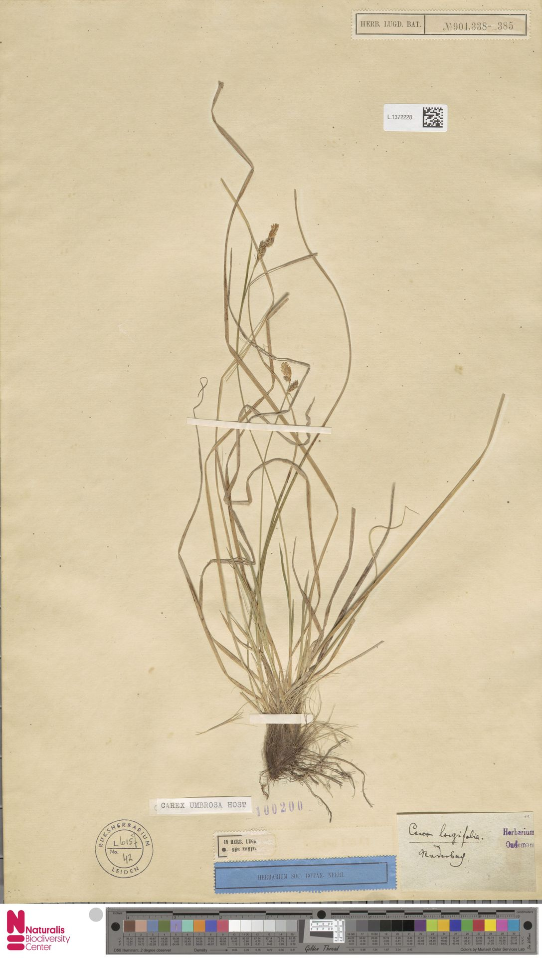 L.1372228 | Carex umbrosa Host