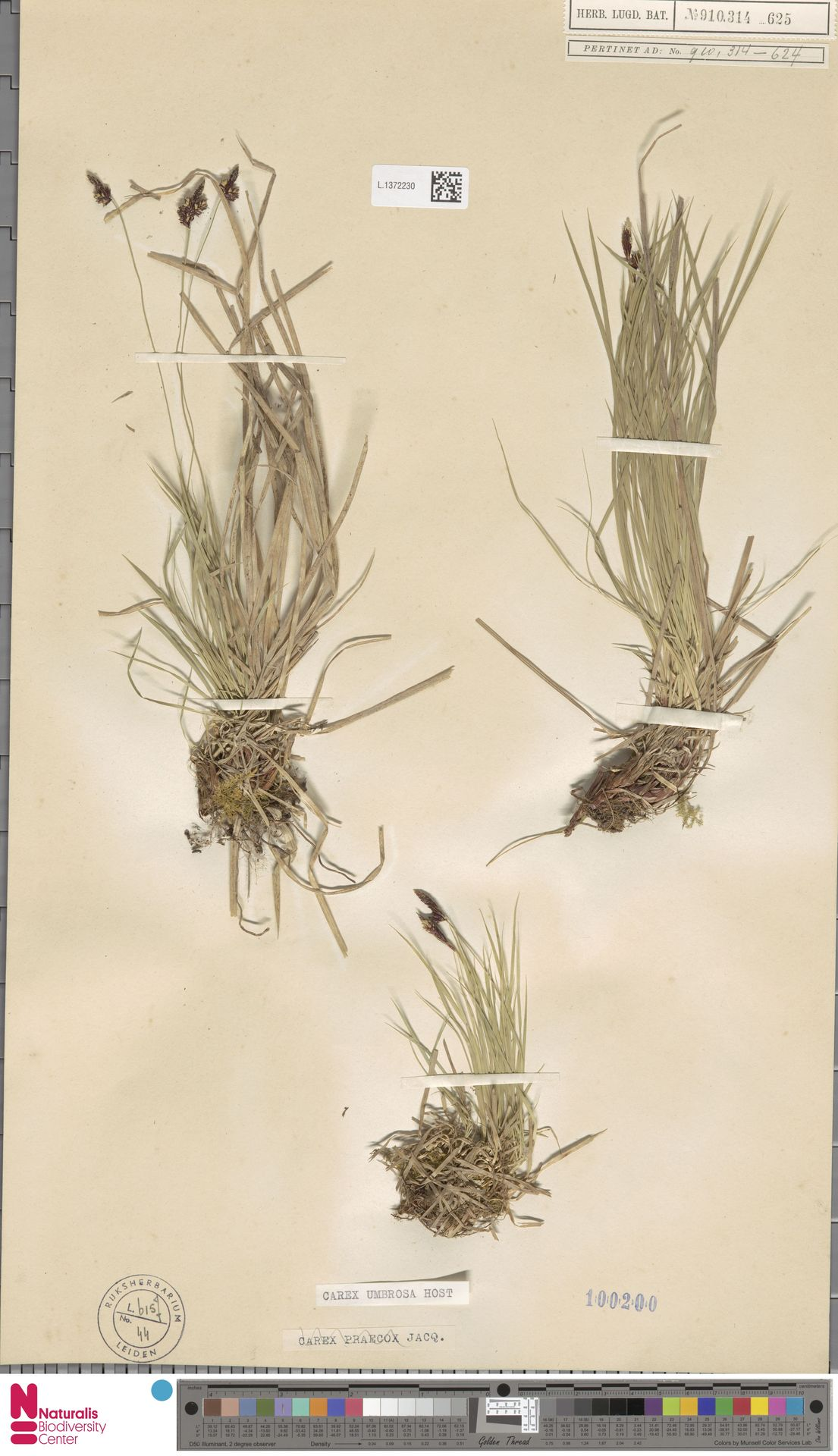 L.1372230 | Carex umbrosa Host