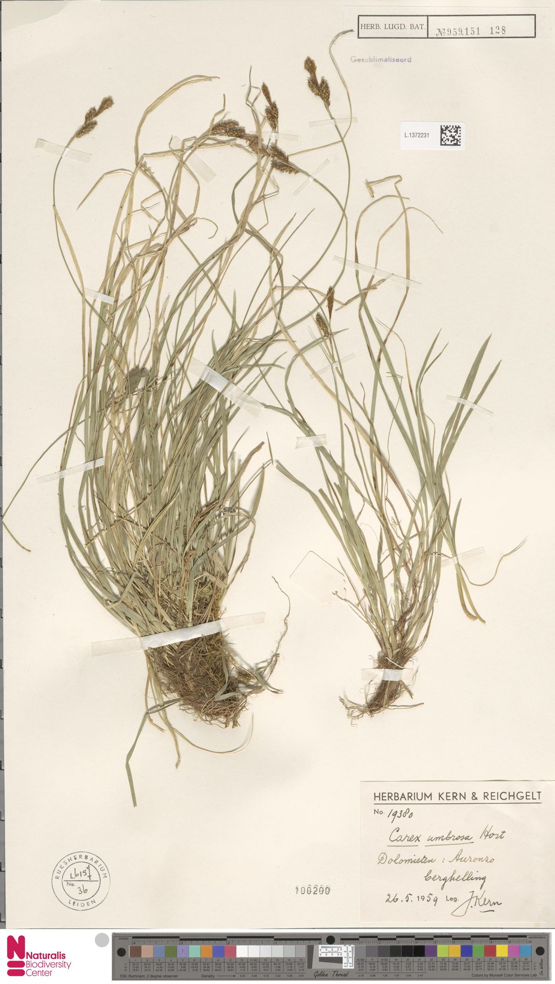 L.1372231 | Carex umbrosa Host