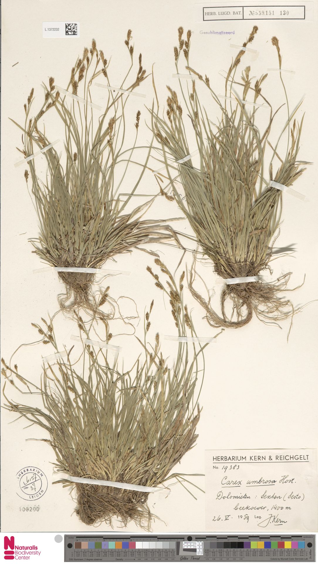 L.1372232 | Carex umbrosa Host