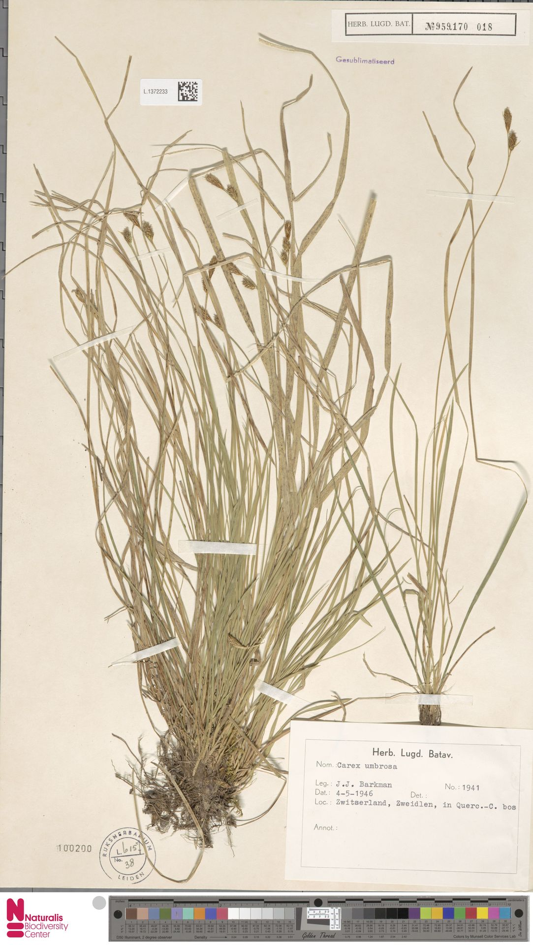 L.1372233 | Carex umbrosa Host
