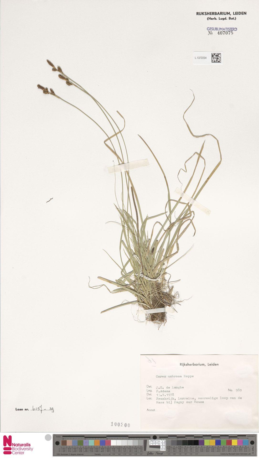L.1372234 | Carex umbrosa Host