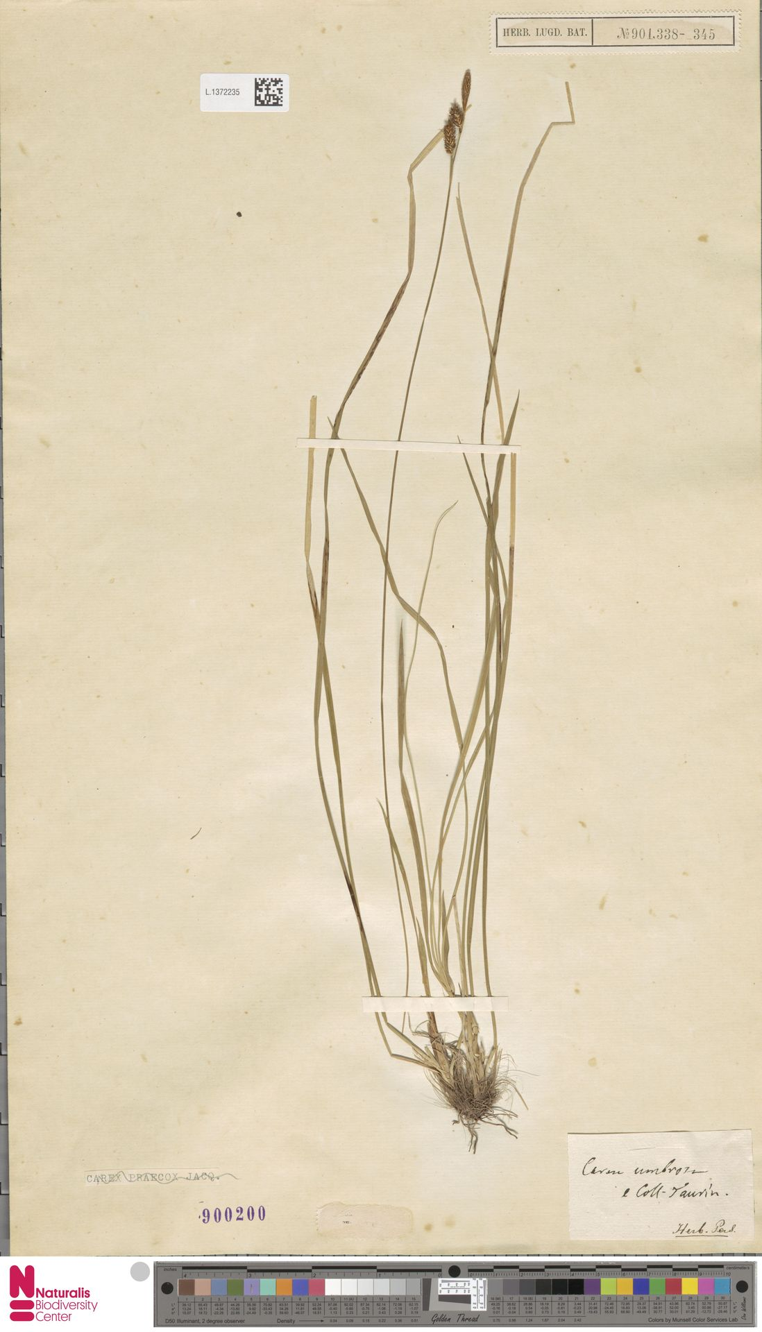 L.1372235 | Carex umbrosa Host