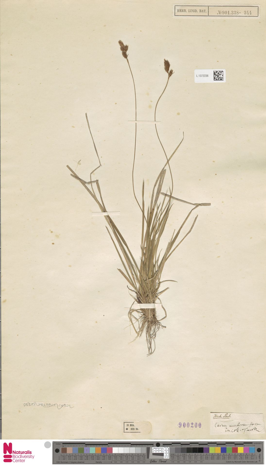 L.1372236 | Carex umbrosa Host