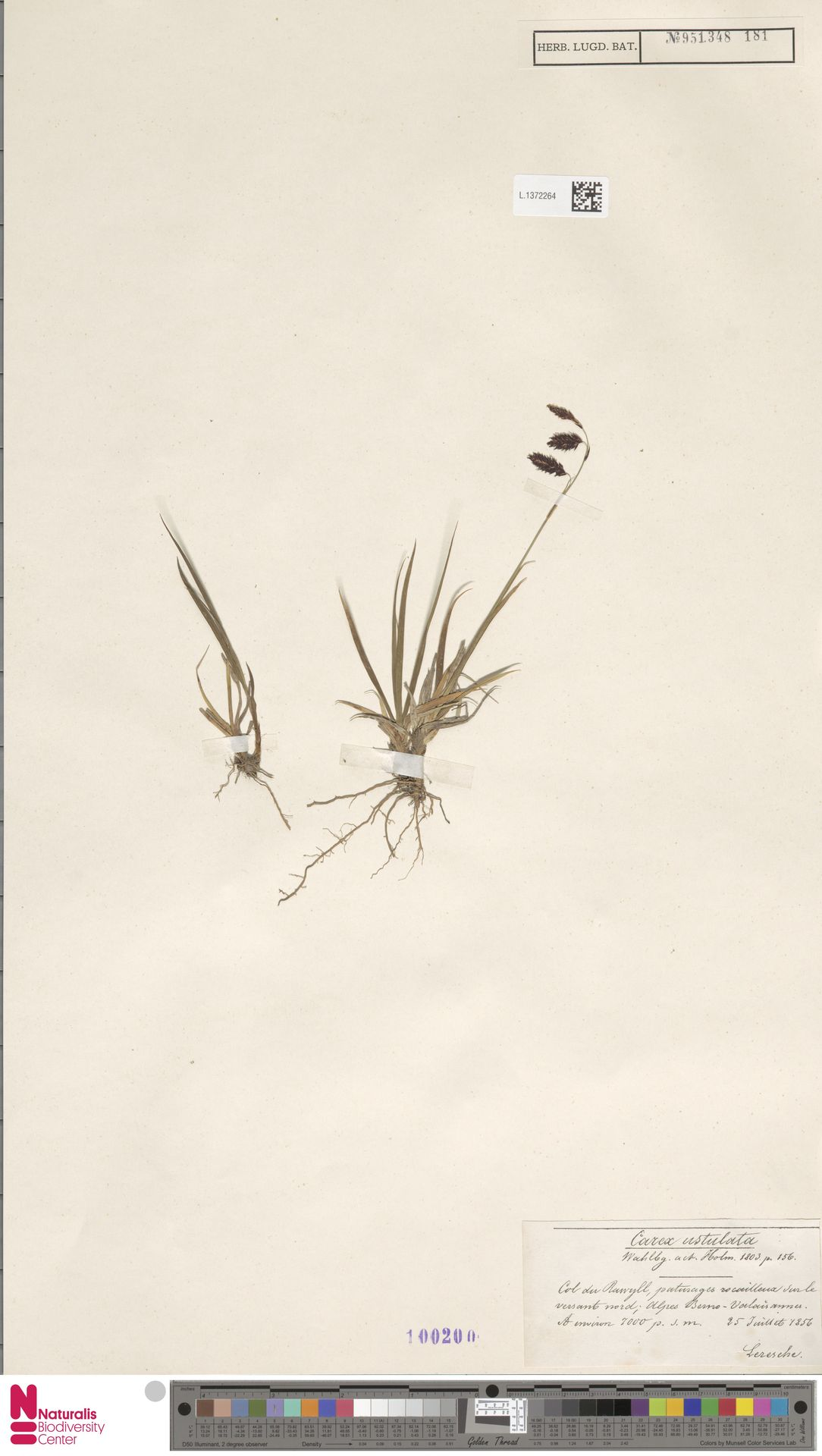 L.1372264 | Carex ustulata Wahlenb.