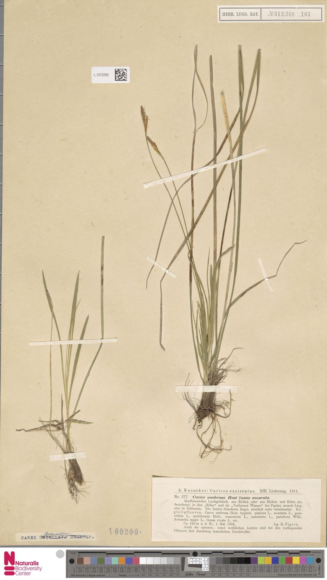 L.1372283 | Carex umbrosa Host