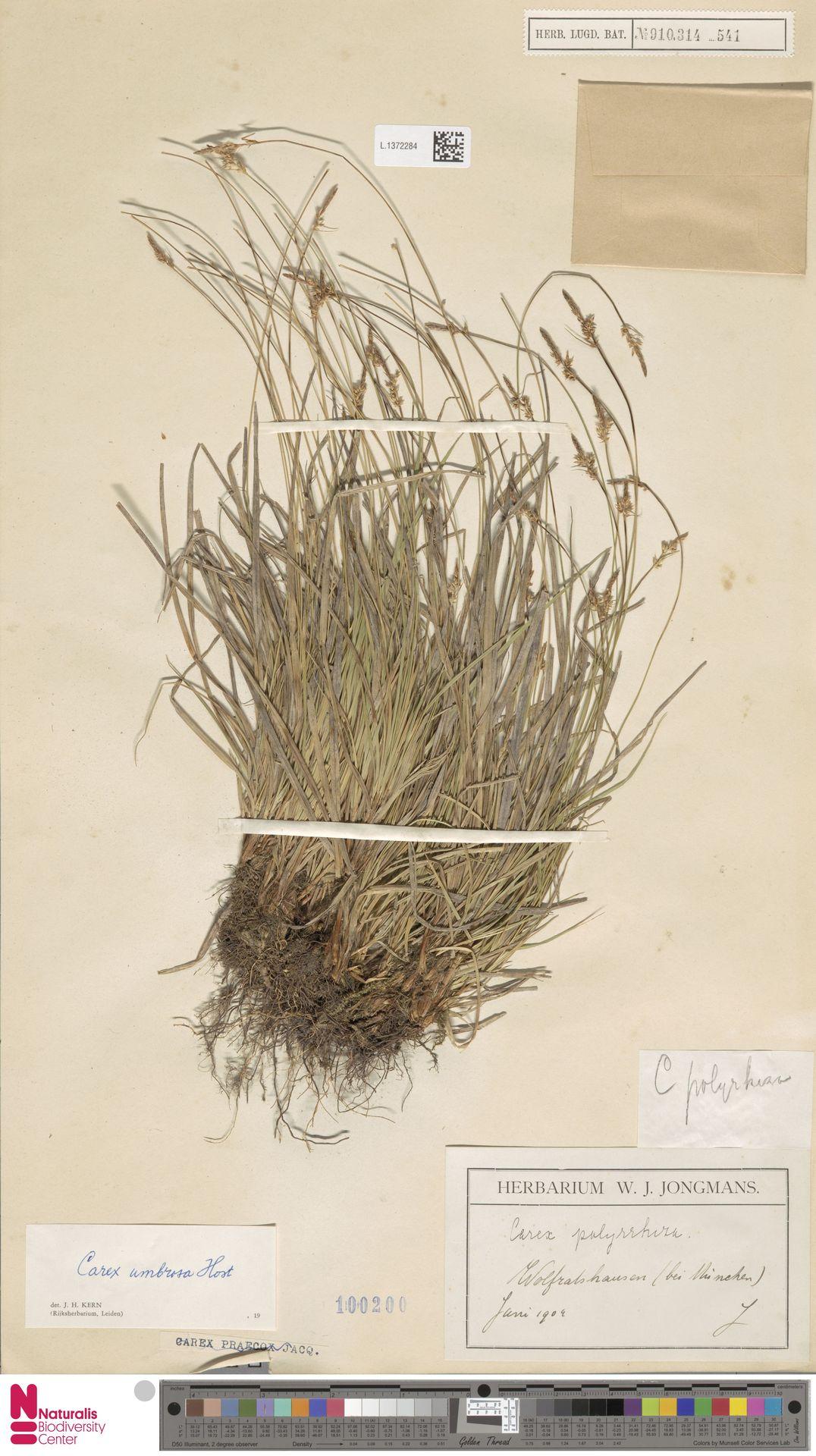 L.1372284 | Carex umbrosa Host