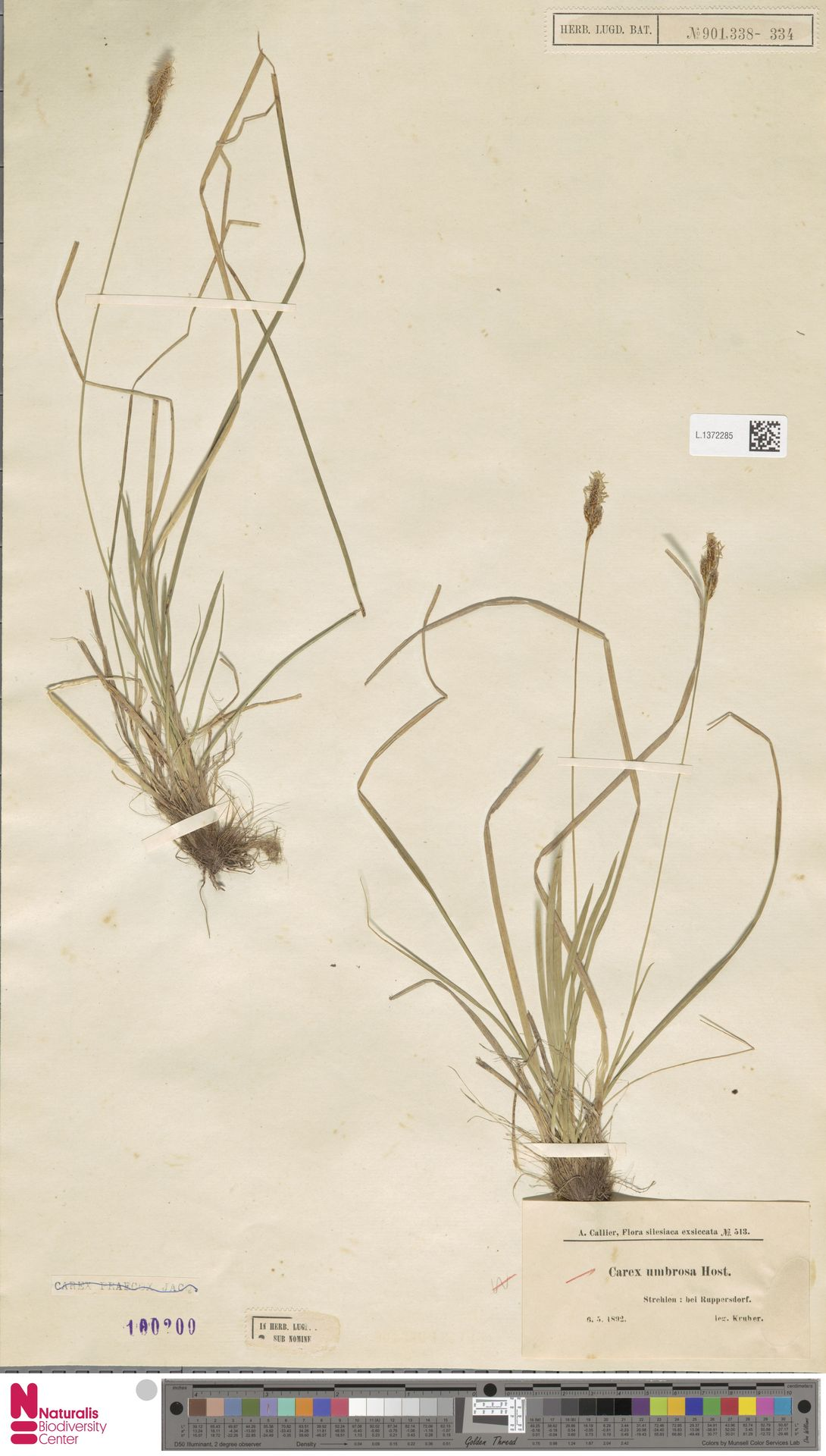 L.1372285   Carex umbrosa Host
