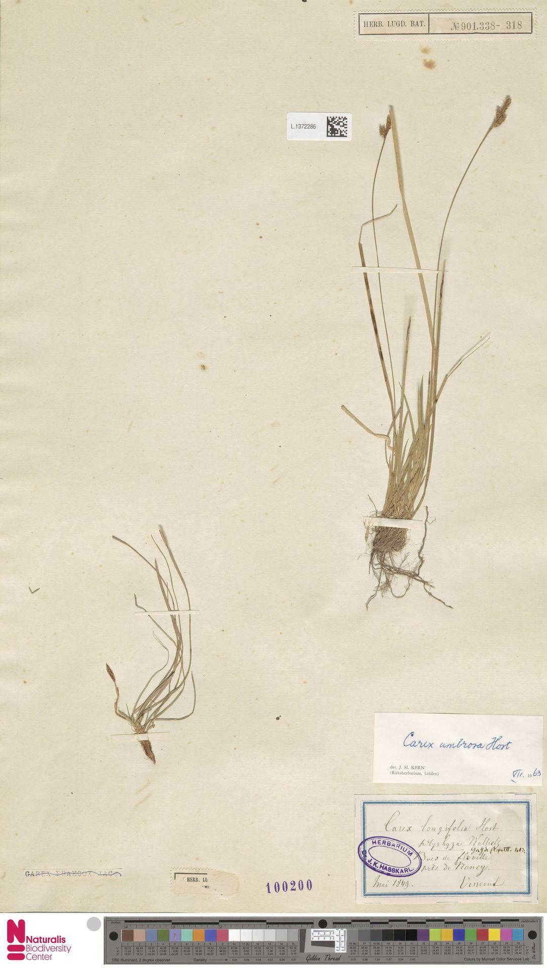 L.1372286 | Carex umbrosa Host