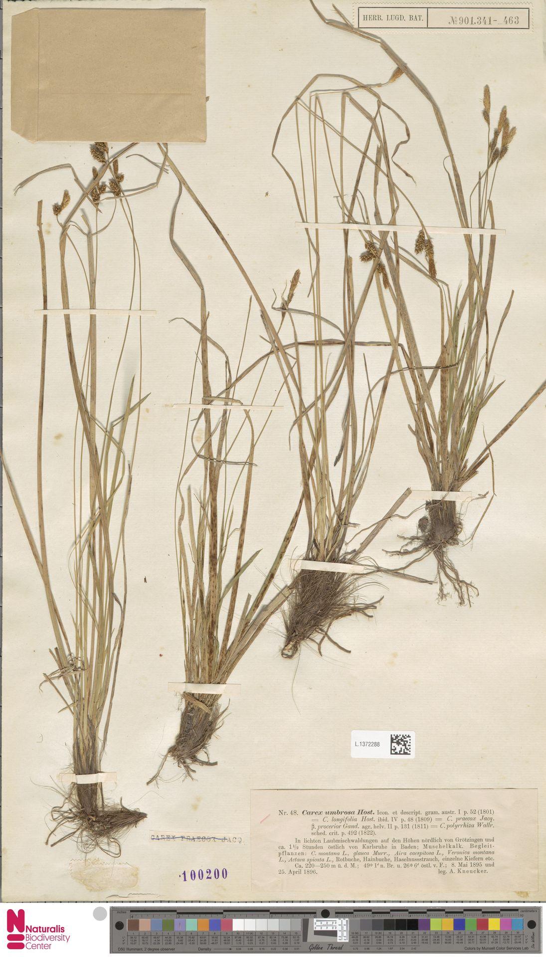 L.1372288 | Carex umbrosa Host