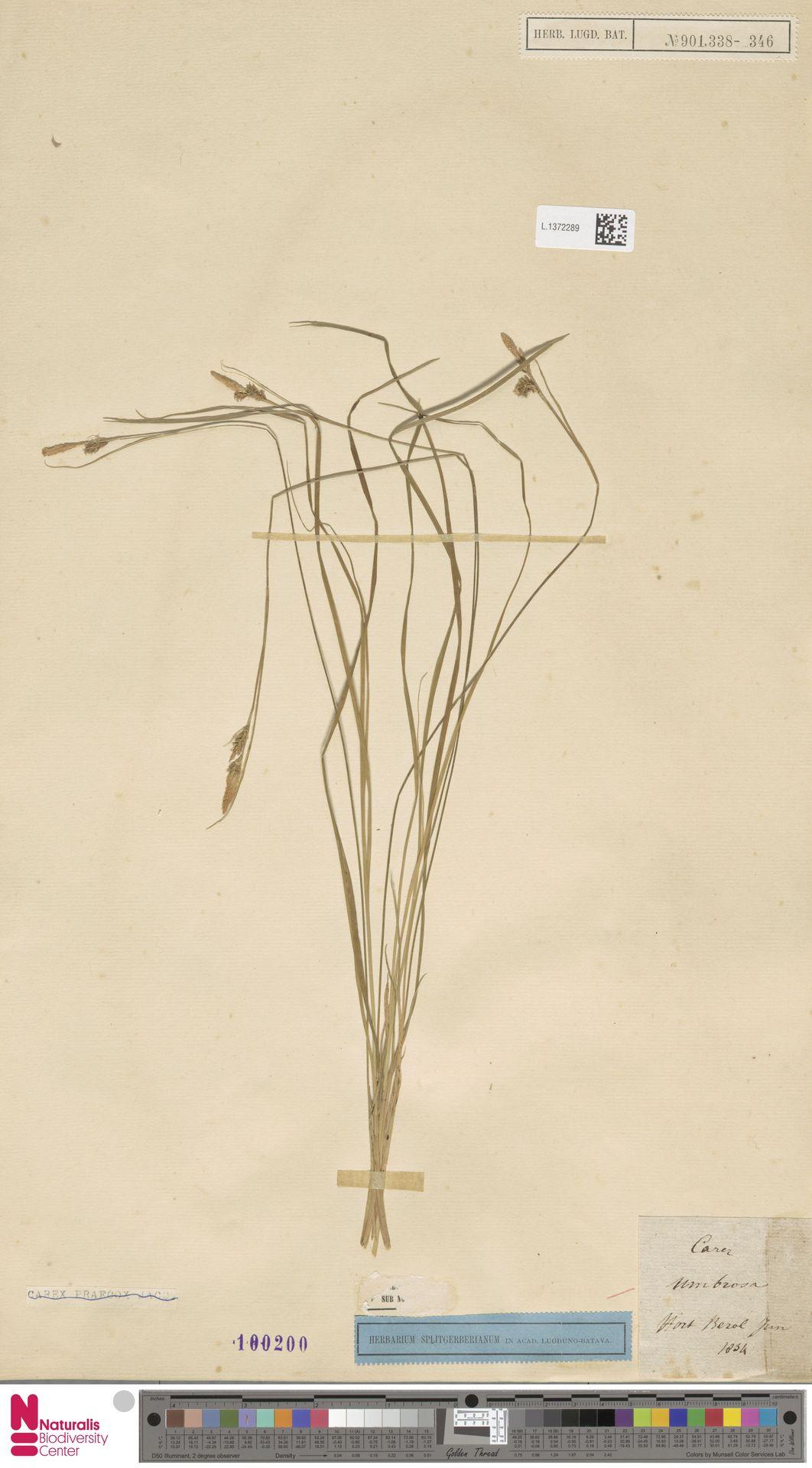 L.1372289 | Carex umbrosa Host