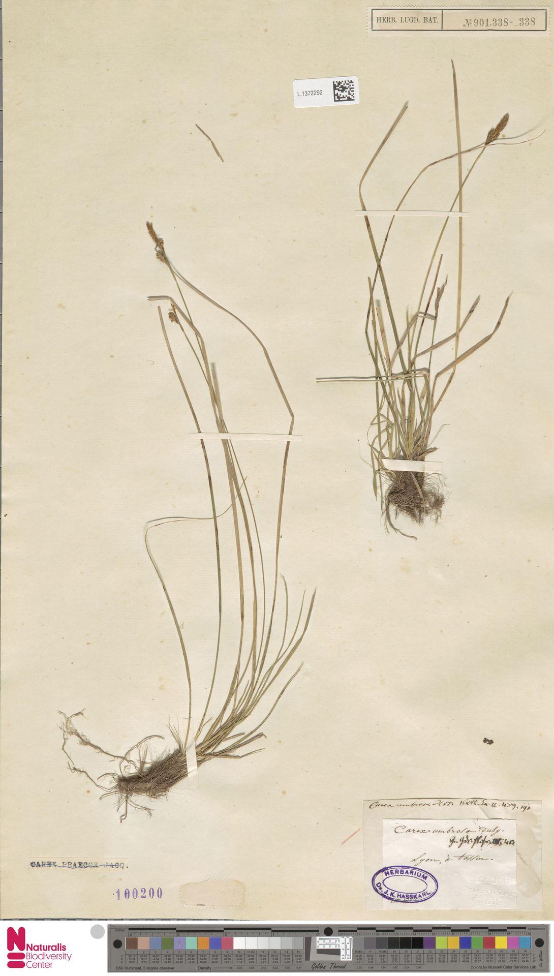 L.1372292 | Carex umbrosa Host