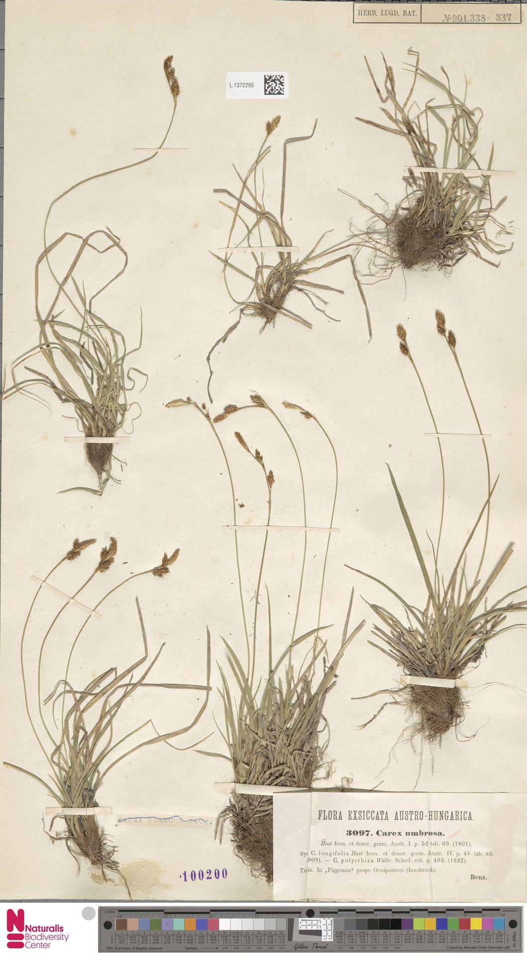 L.1372293 | Carex umbrosa Host