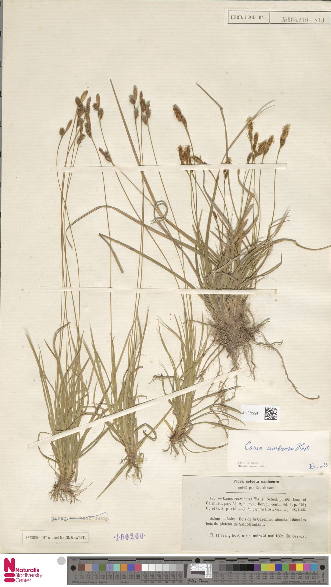 L.1372294 | Carex umbrosa Host