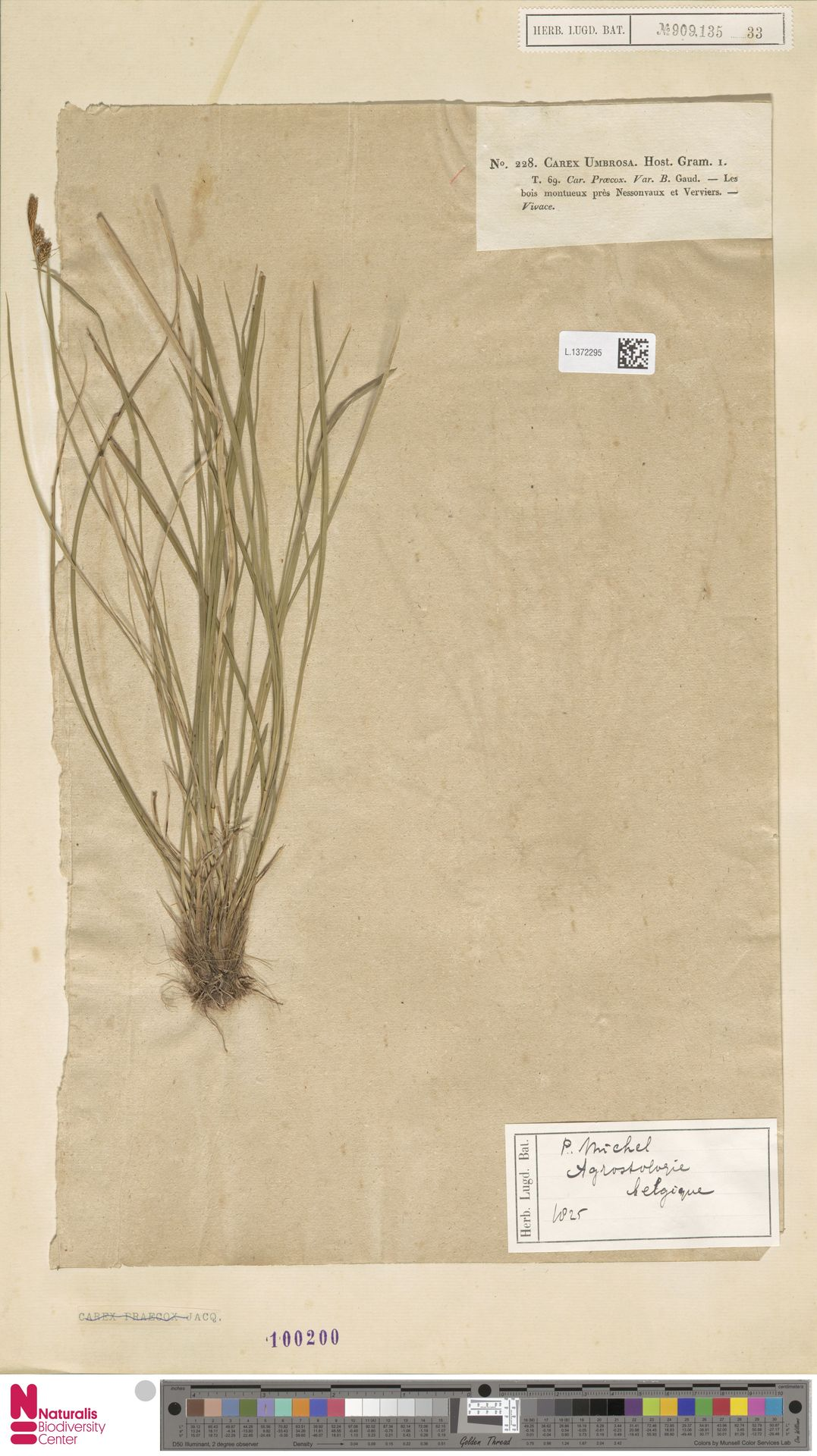L.1372295 | Carex umbrosa Host