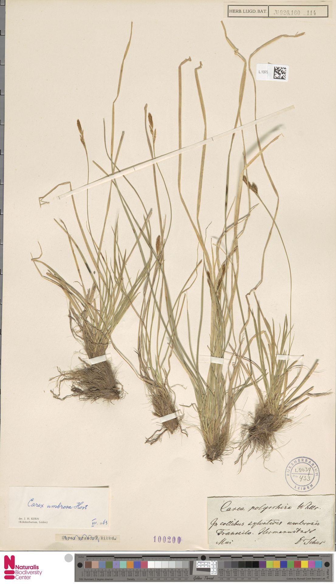 L.1372296 | Carex umbrosa Host
