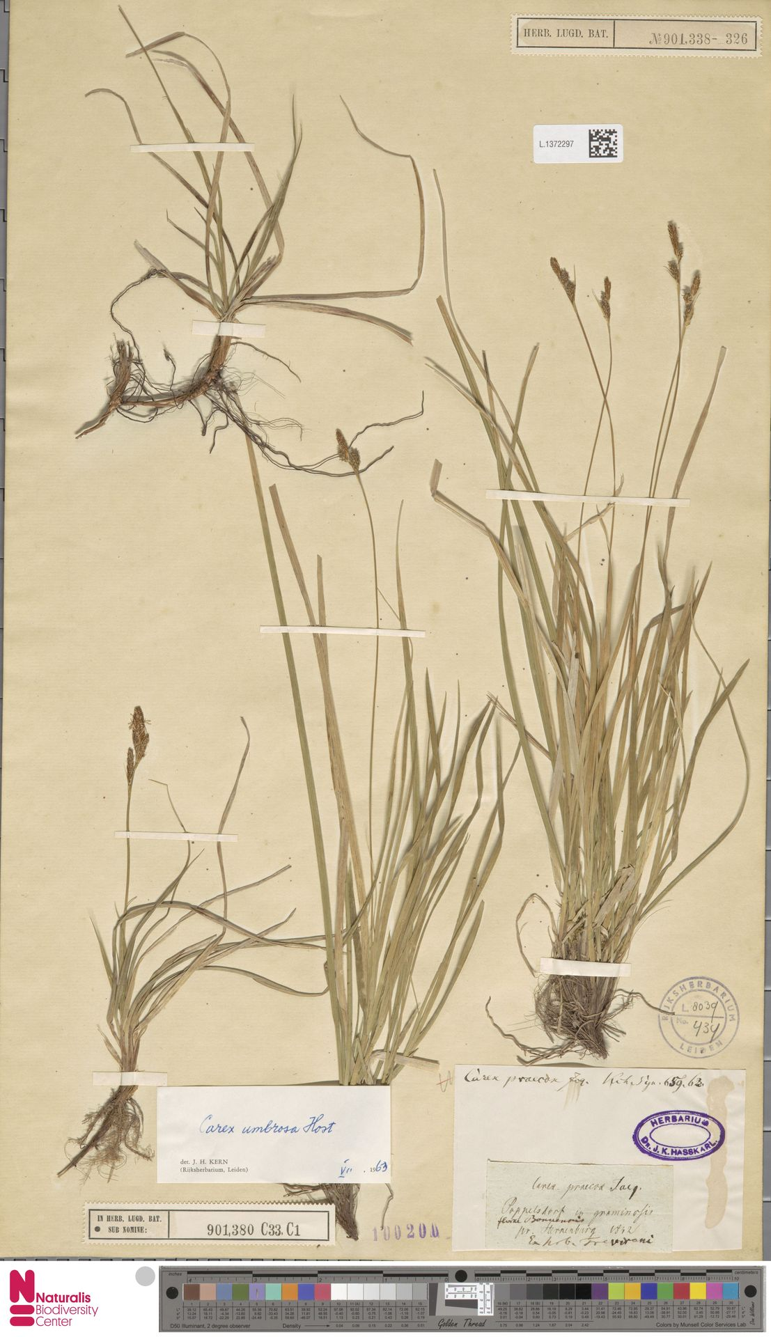 L.1372297 | Carex umbrosa Host