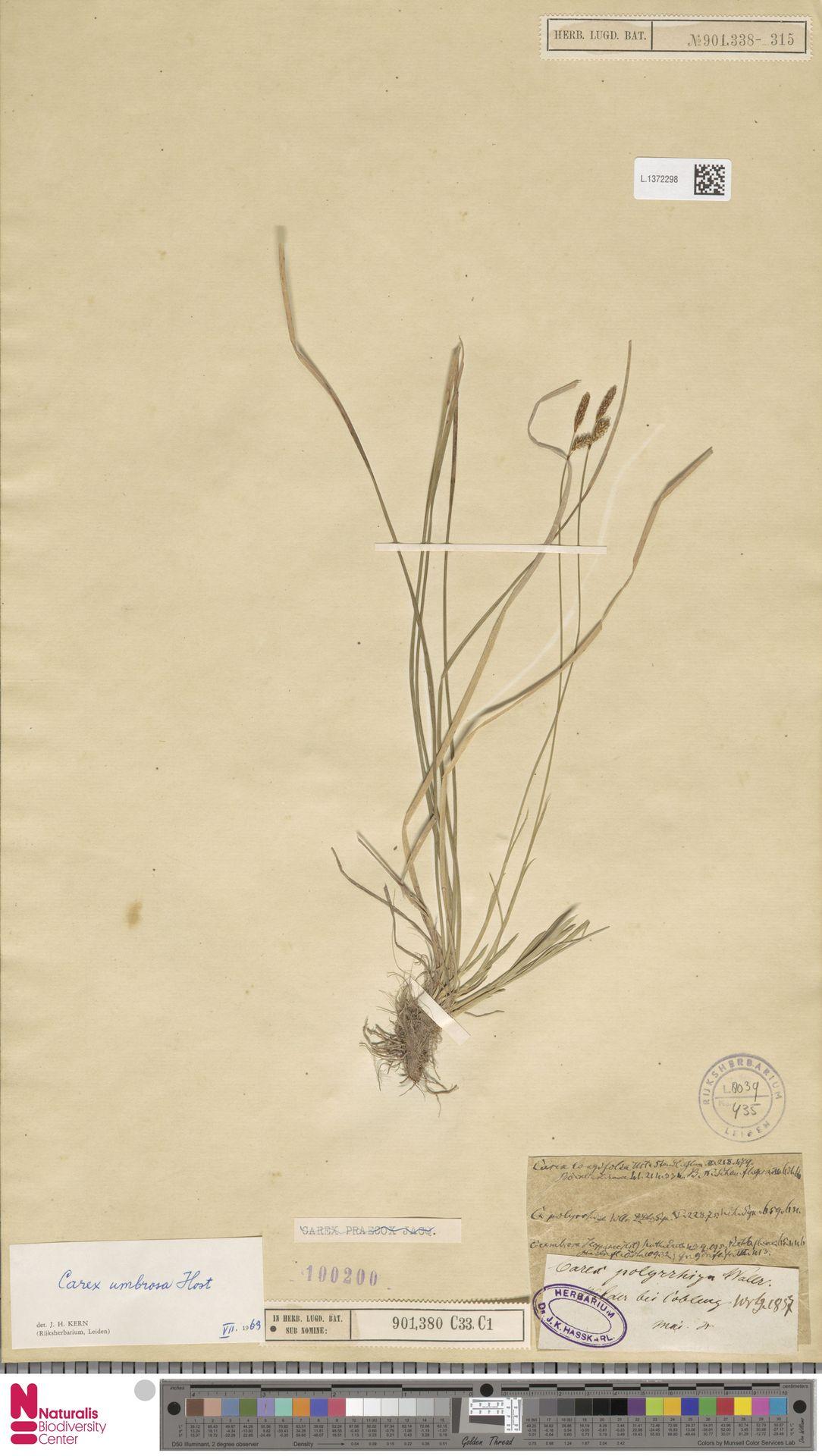L.1372298 | Carex umbrosa Host
