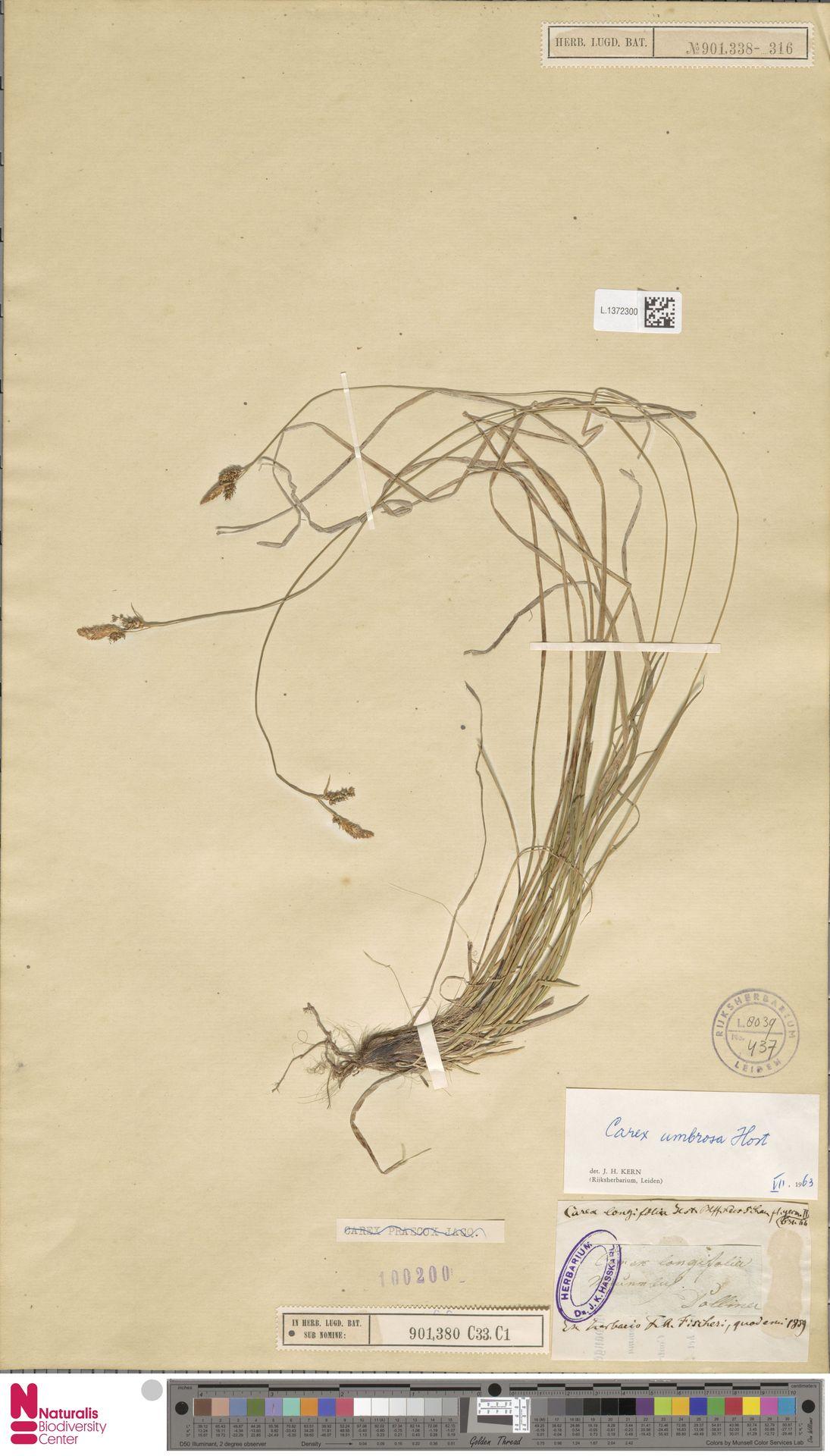 L.1372300   Carex umbrosa Host