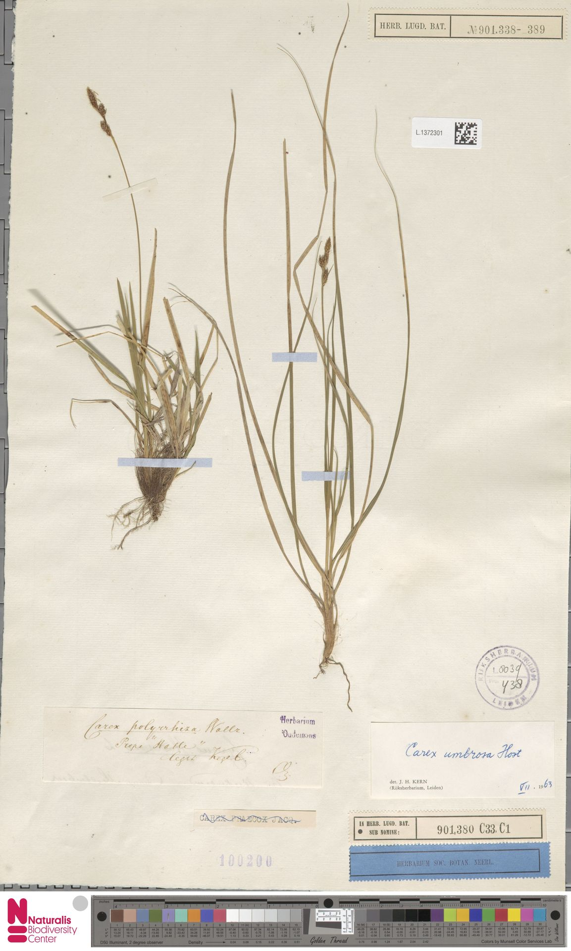 L.1372301 | Carex umbrosa Host