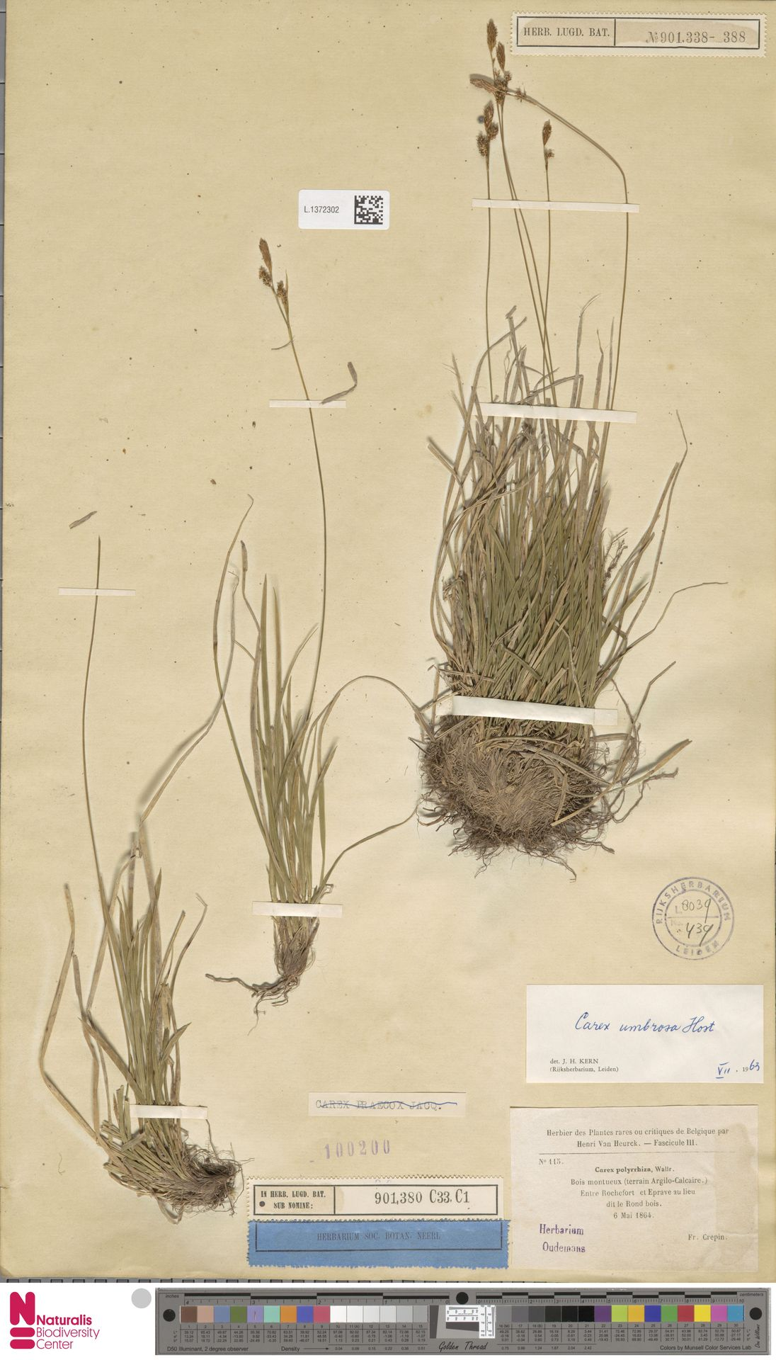 L.1372302 | Carex umbrosa Host