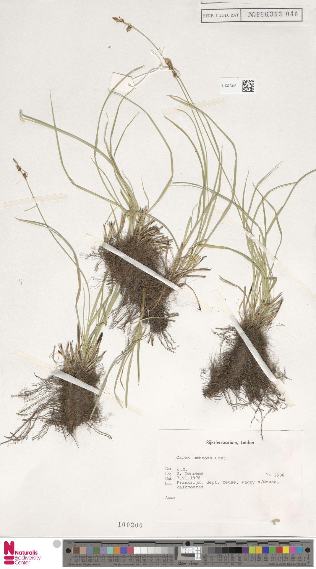 L.1372303 | Carex umbrosa Host