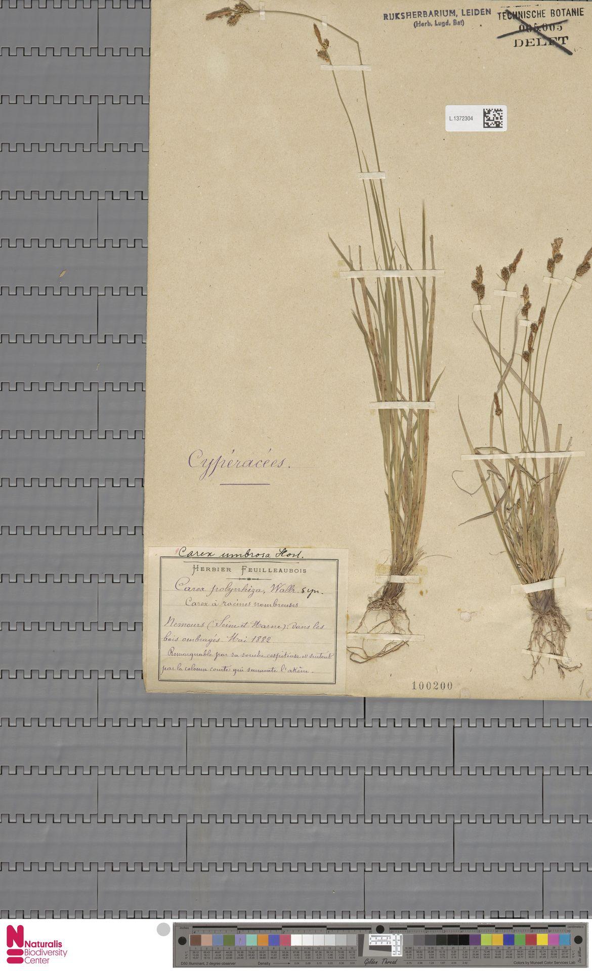 L.1372304   Carex umbrosa Host