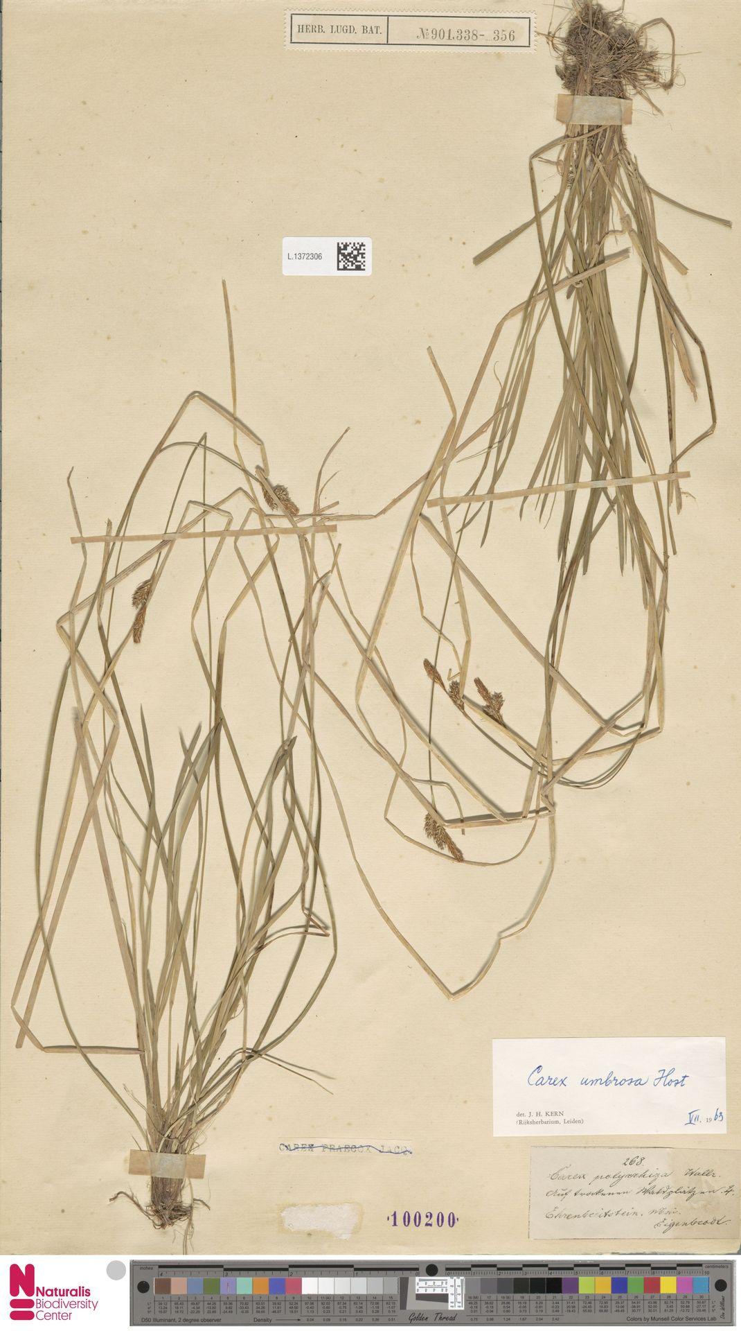 L.1372306 | Carex umbrosa Host