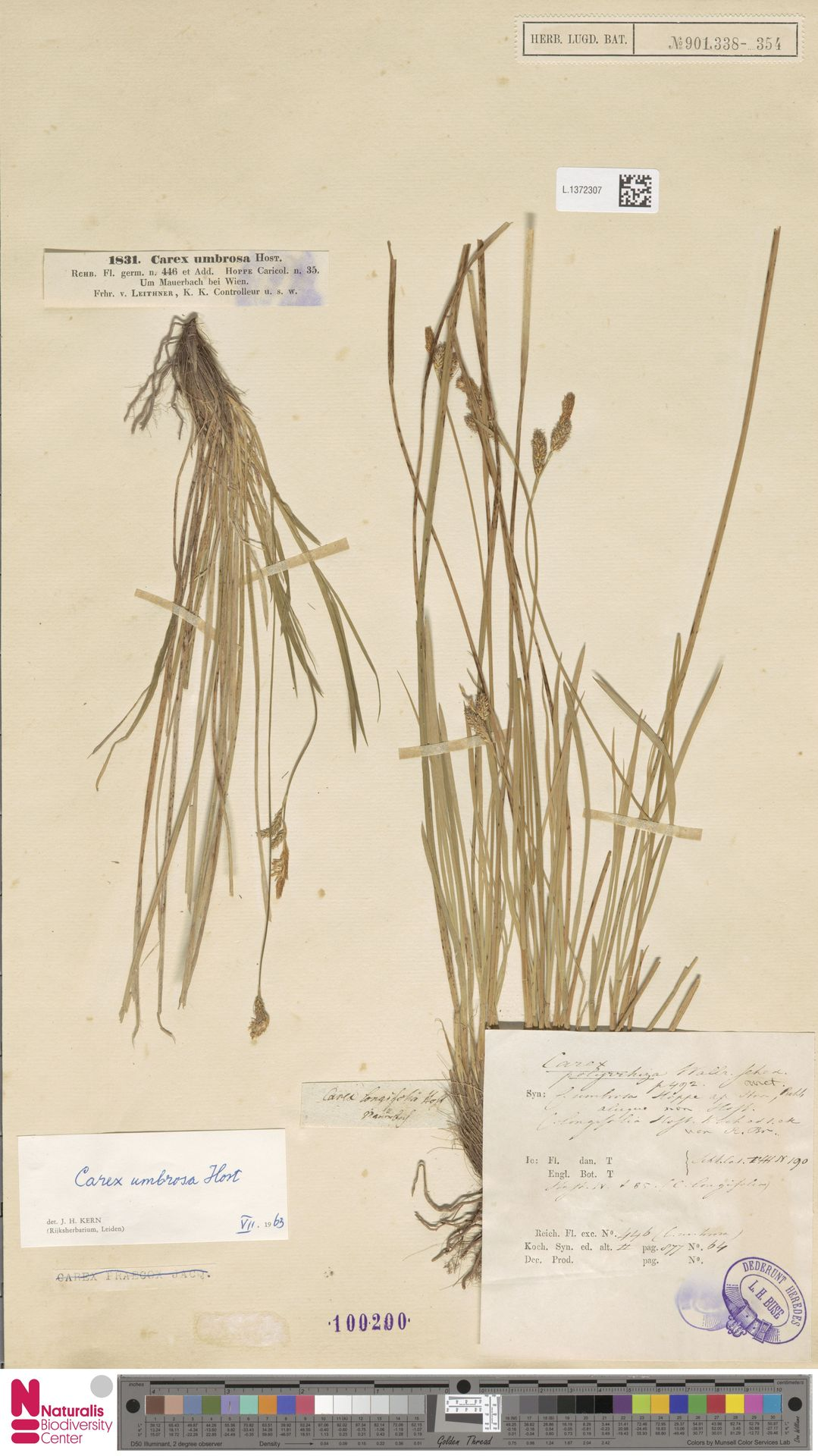 L.1372307 | Carex umbrosa Host