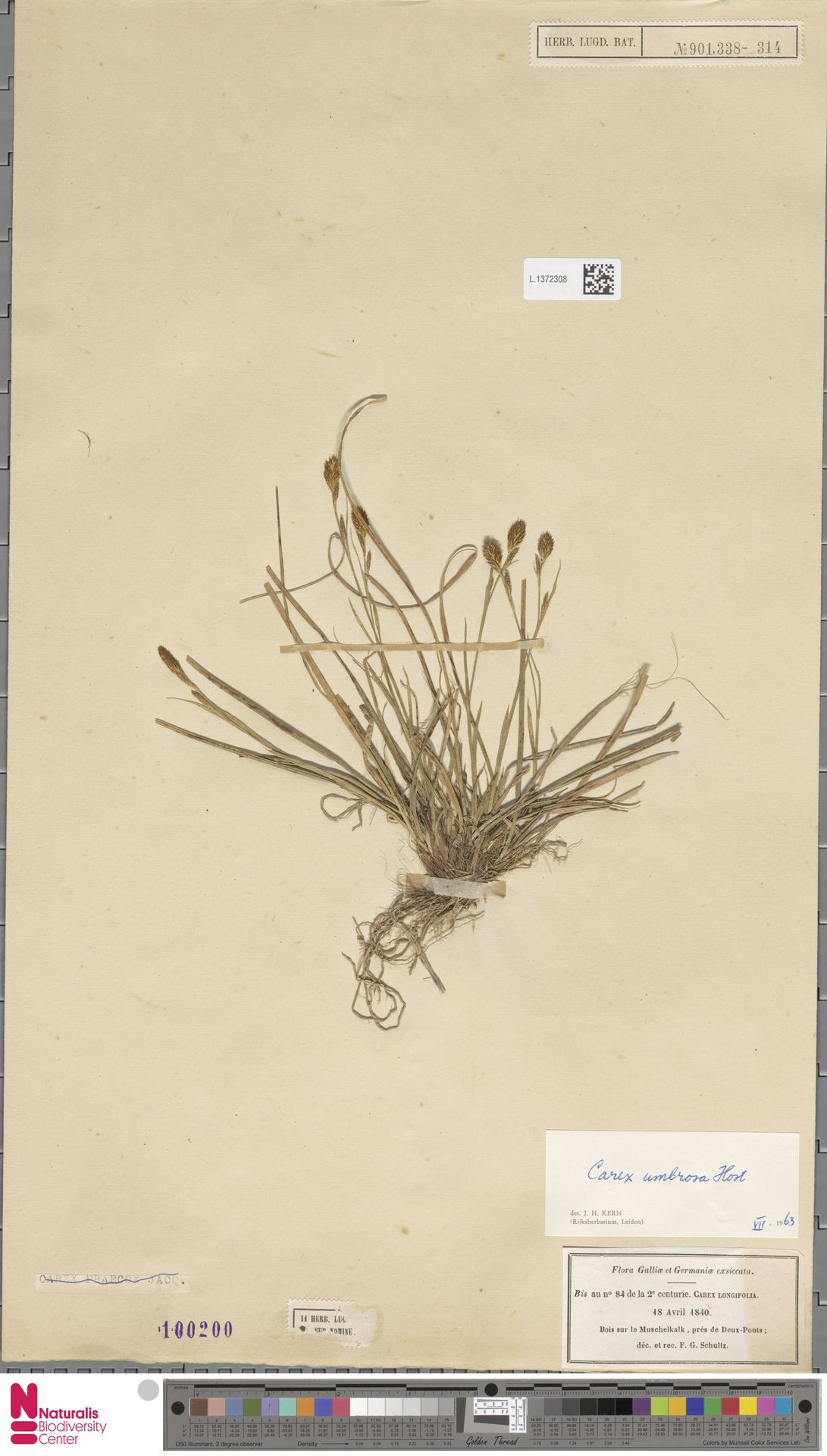 L.1372308 | Carex umbrosa Host