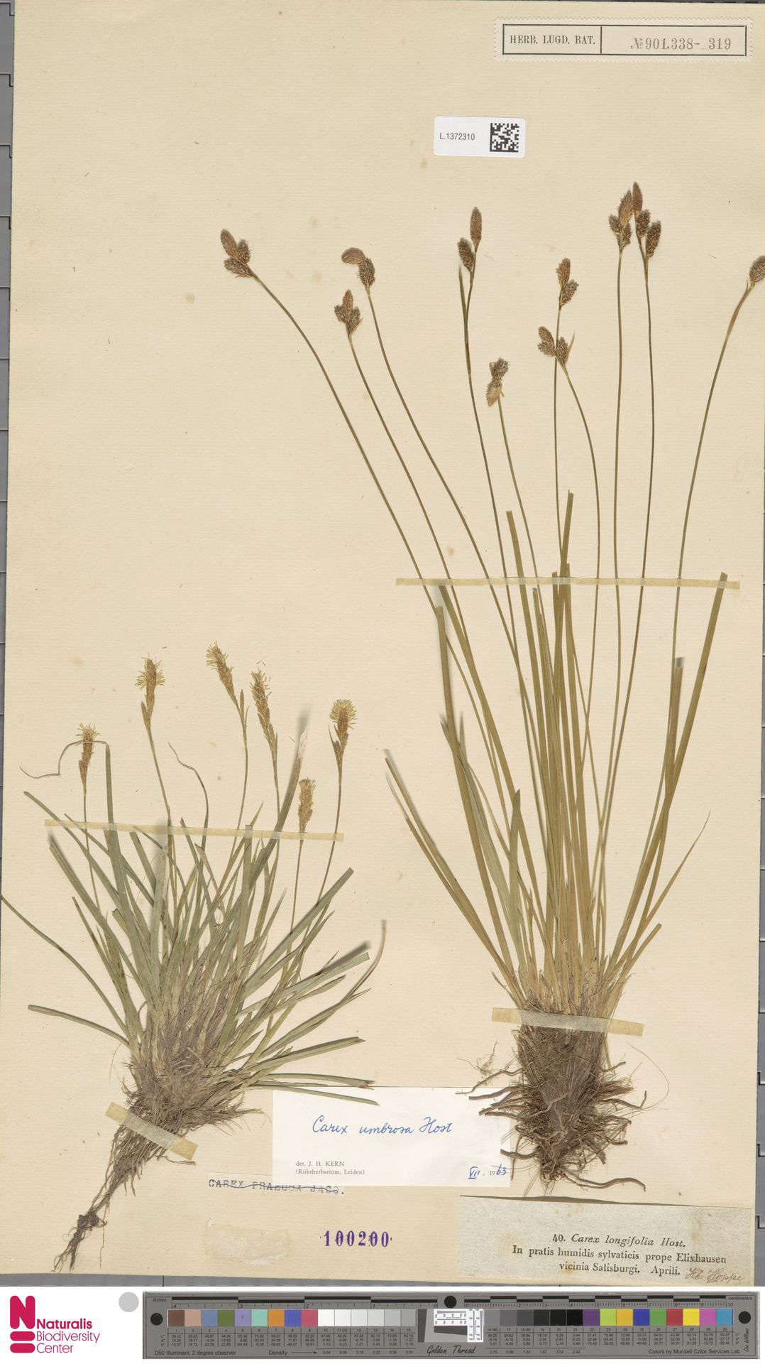 L.1372310 | Carex umbrosa Host
