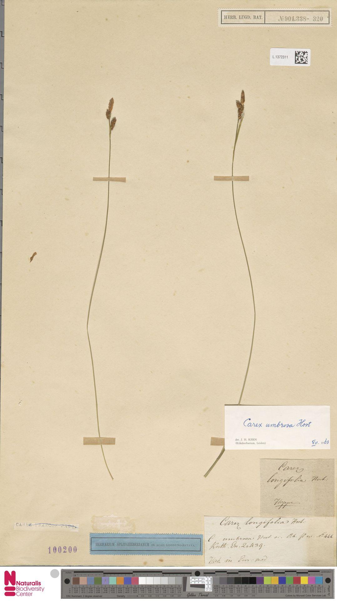 L.1372311 | Carex umbrosa Host