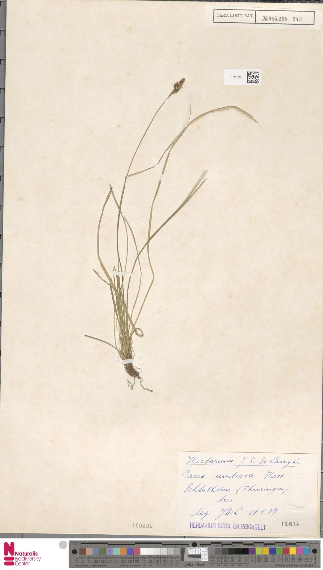 L.1372312   Carex umbrosa Host