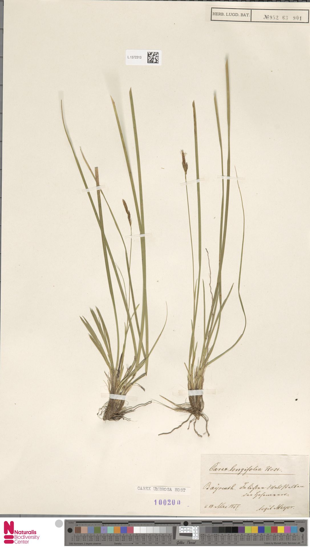 L.1372313 | Carex umbrosa Host